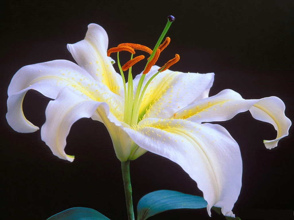 click to free download the wallpaper--Images of Lilies, White Blooming Lily, Graceful Flower 1024X768 free wallpaper download