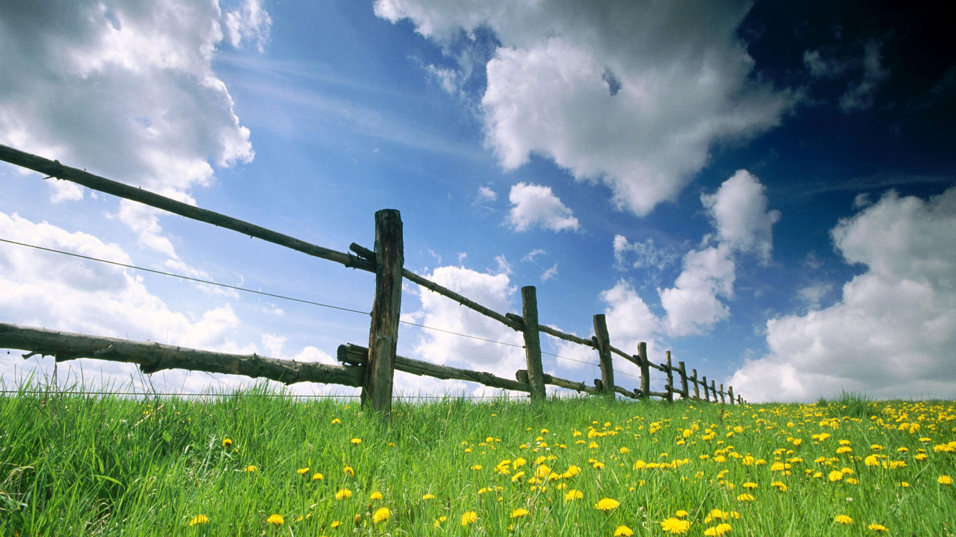 click to free download the wallpaper--Images of Natural Flowers - A Field of Yellow and Blooming Flowers, the Blue Sky Above, Protective Fences  1920X1080 free wallpaper download