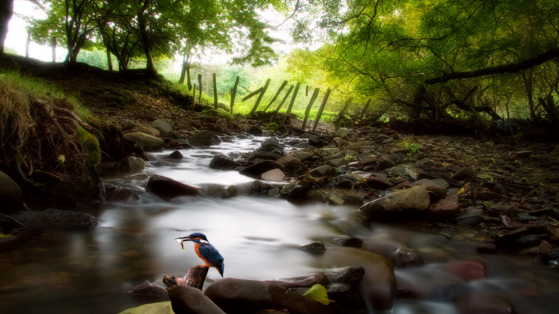 click to free download the wallpaper--Images of Natural Scene - A Bird Holding a Fish in the Mouth, Black Big Stones in the Rush River, Green Trees 1920X1080 free wallpaper download