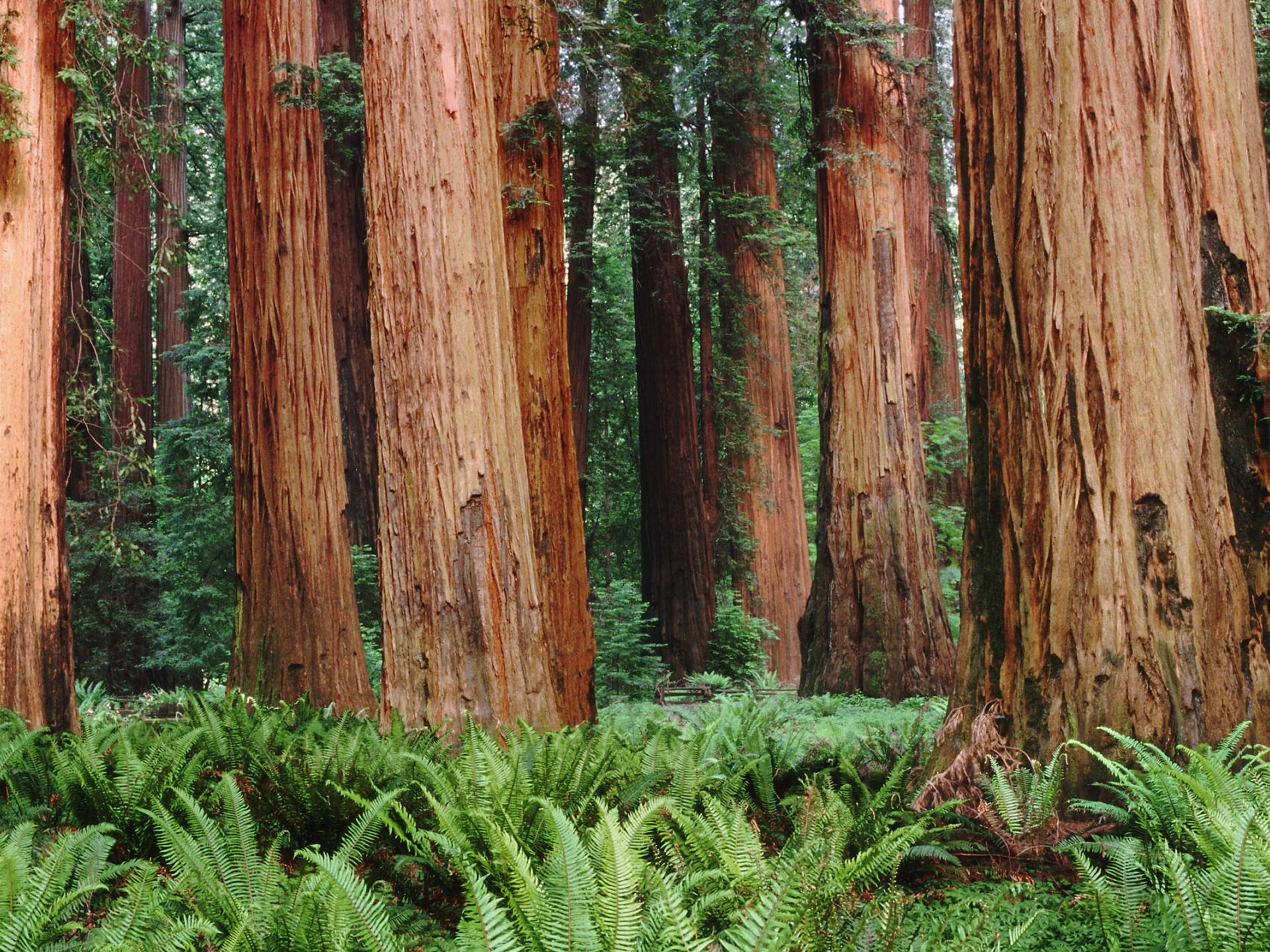 click to free download the wallpaper--Images of Nature Landscape, Redwoods Among the Green Grass, Tall and Impressive