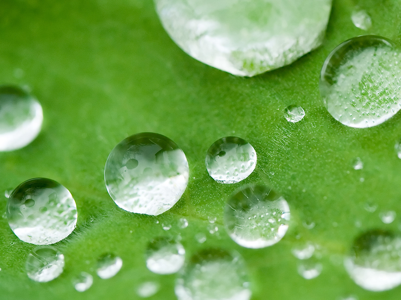 click to free download the wallpaper--Images of Nature Landscape, Small Drops on a Green Leaf, Fresh and Clean Scene