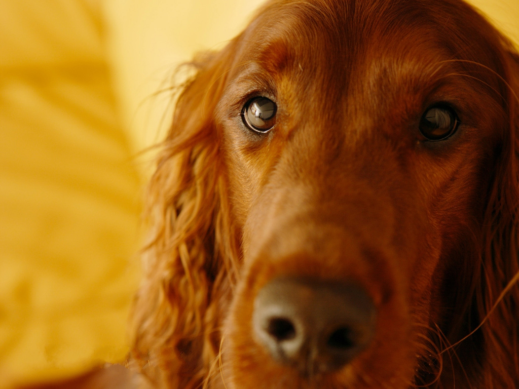 click to free download the wallpaper--Irish Setter Images, Attentive and Kind Eyesight, Sweet Cutie! 1024X768 free wallpaper download
