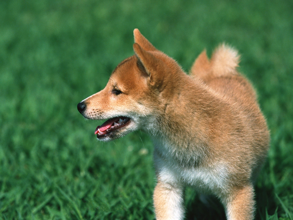 Japanese Shiba Inu Picture, Puppy Among Green Grass, Good ...