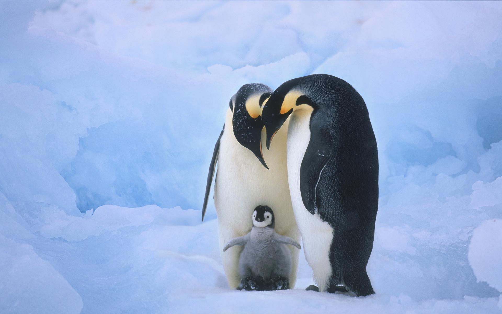 Cute penguin - photo#19