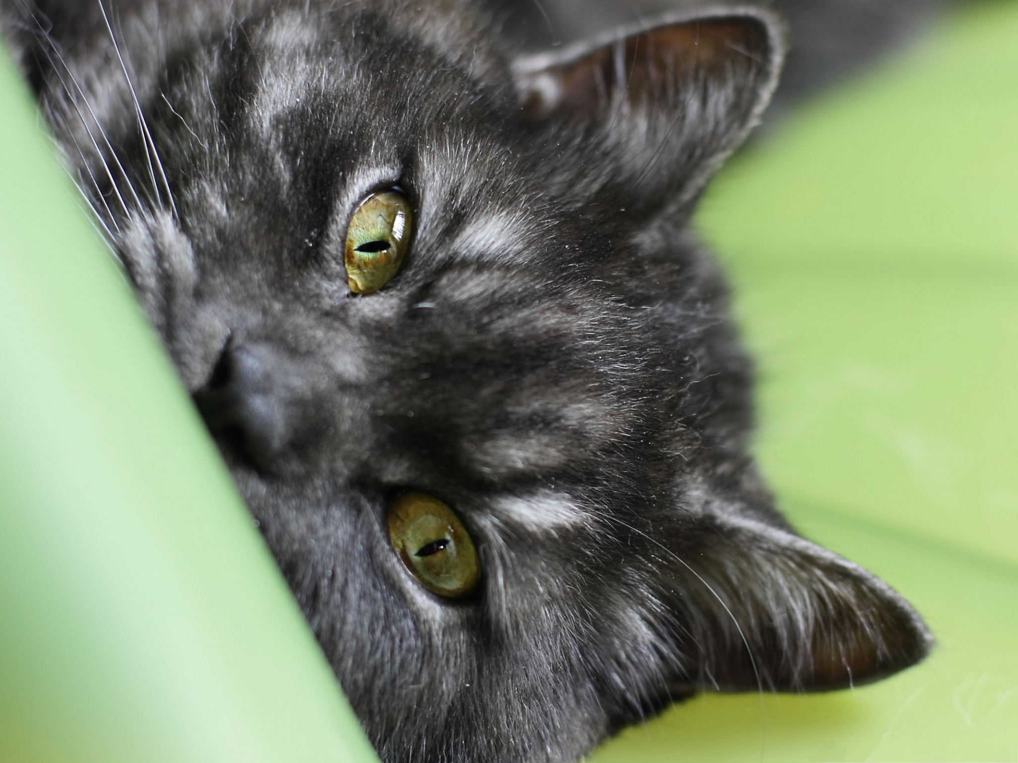 click to free download the wallpaper--Lovely Cats Image, Gray Kitten in Watering Eyes, Green Sofa Around 2048X1536 free wallpaper download