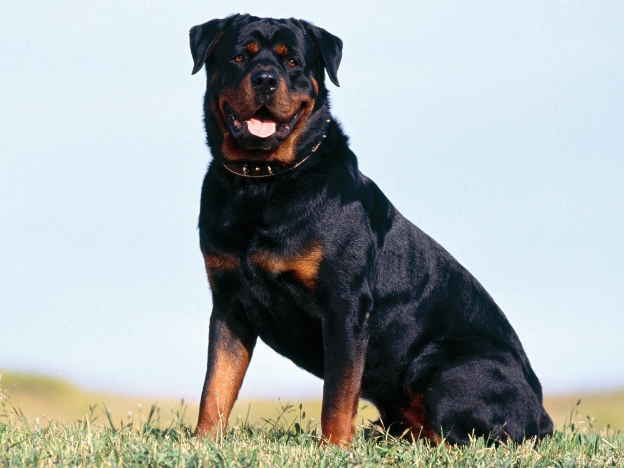 click to free download the wallpaper--Loyal Rottweiler Rottweiler 1280X960 free wallpaper download