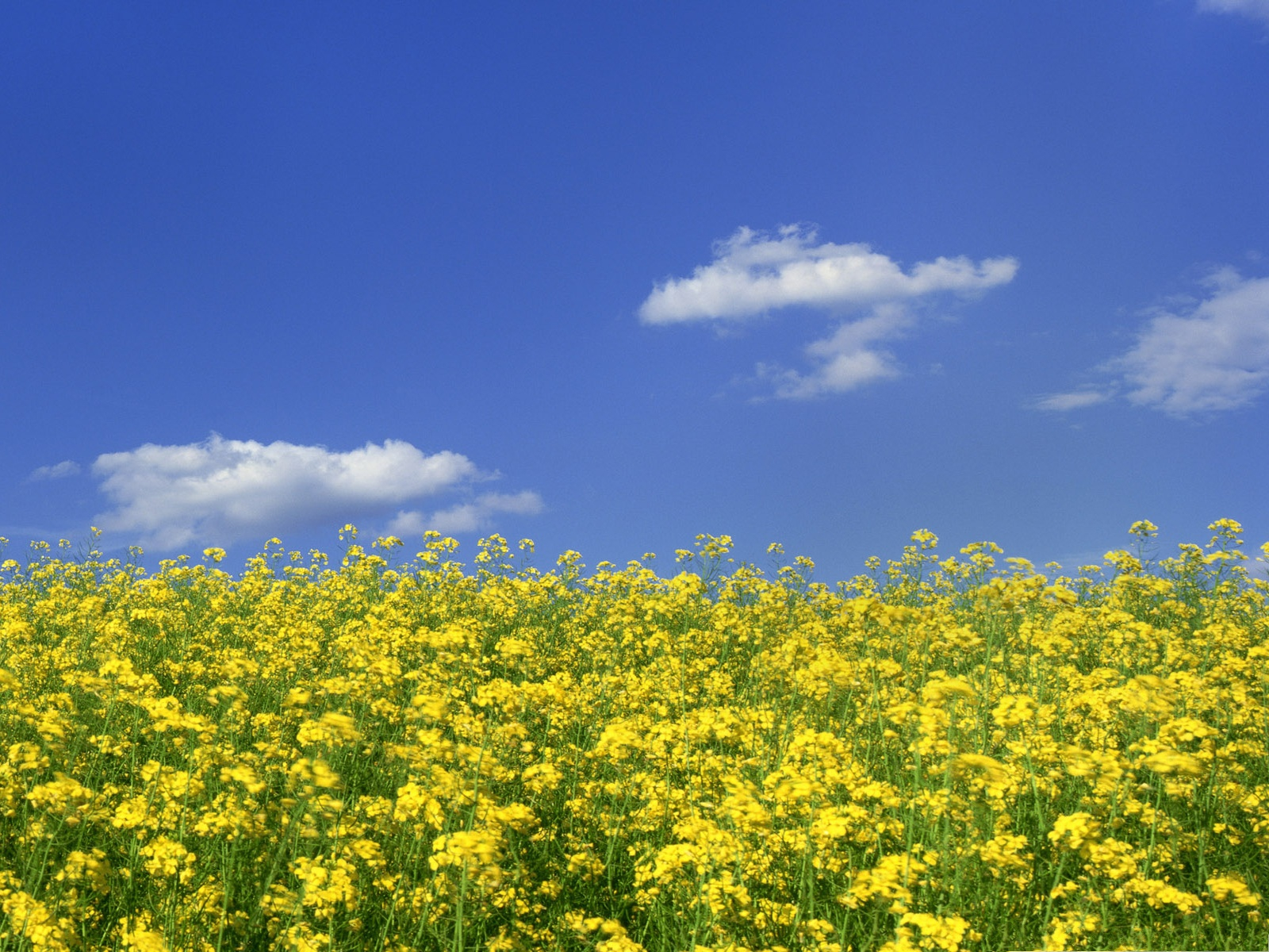 click to free download the wallpaper--Mustard Flower Field, Yellow Flower Field, the Blue and Cloudless Sky 1600X1200 free wallpaper download