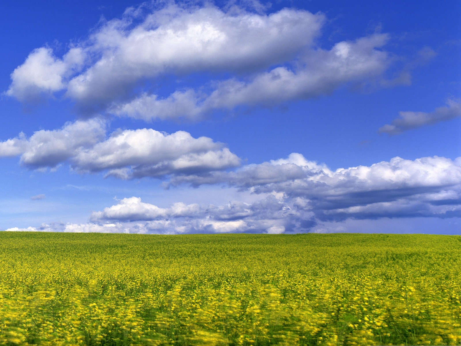 click to free download the wallpaper--Mustard Flower Field, Yellow Flowers Under the Blue and Cloudless Sky 1600X1200 free wallpaper download
