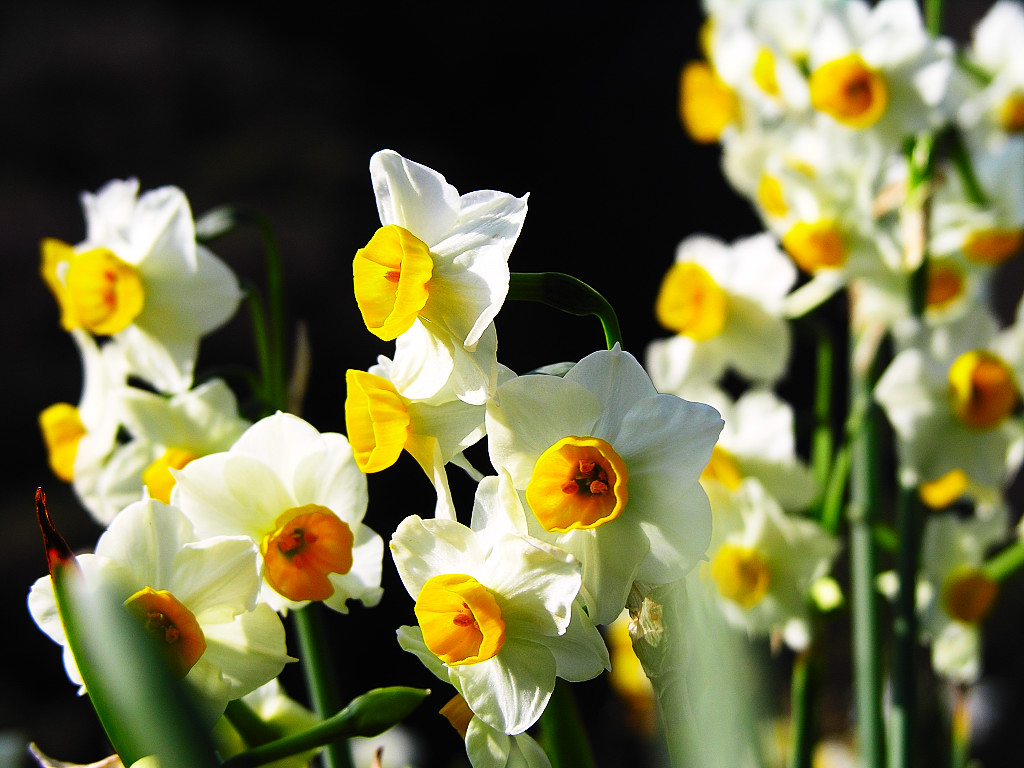 click to free download the wallpaper--Narcissus Flowers Picture, Yellow Flowers in Smile, Black Background 1024X768 free wallpaper download