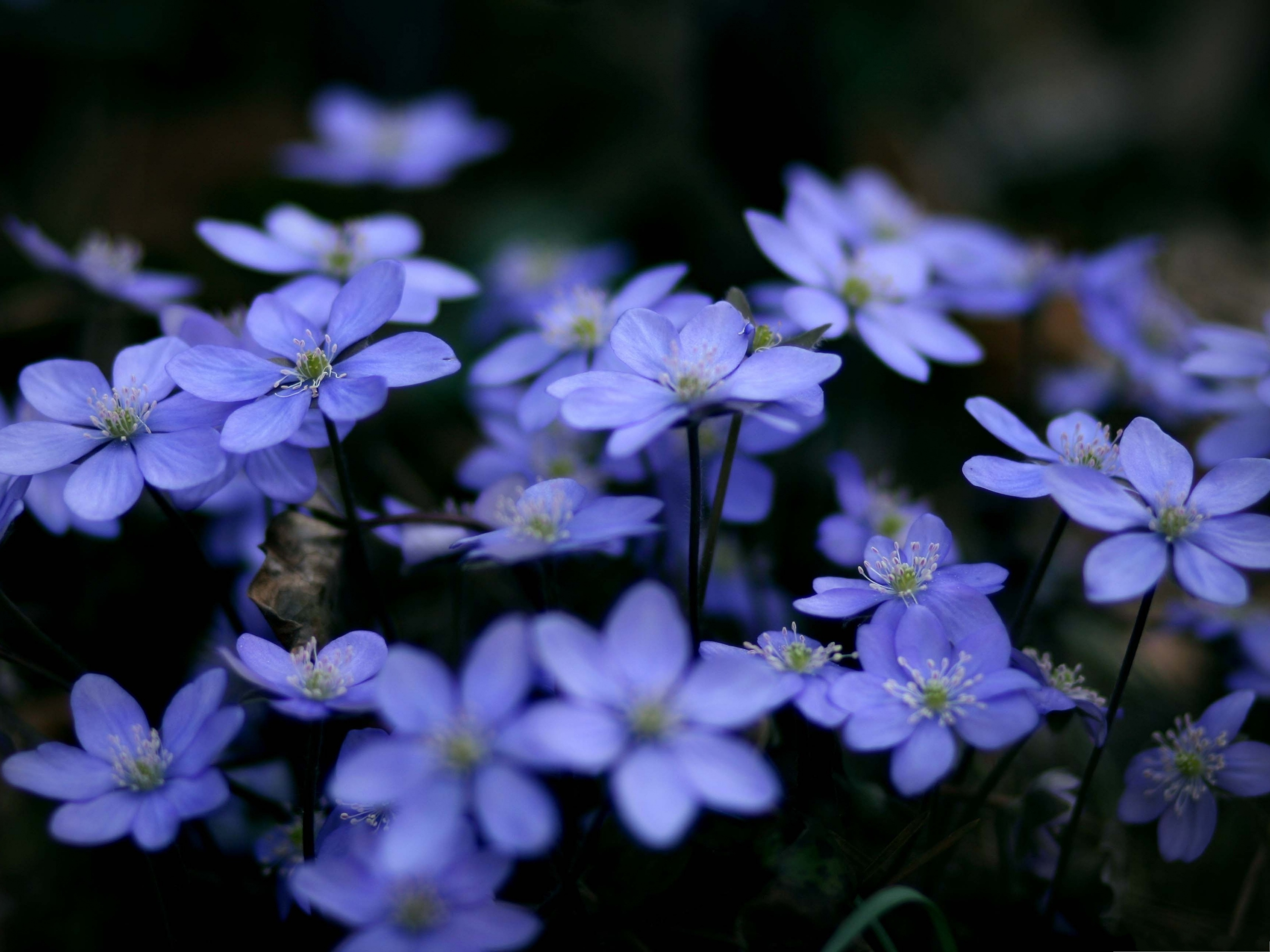 click to free download the wallpaper--Natural Landscape Photography, Small Blue Flowers, Be Optimistic and Smile 3200X2400 free wallpaper download