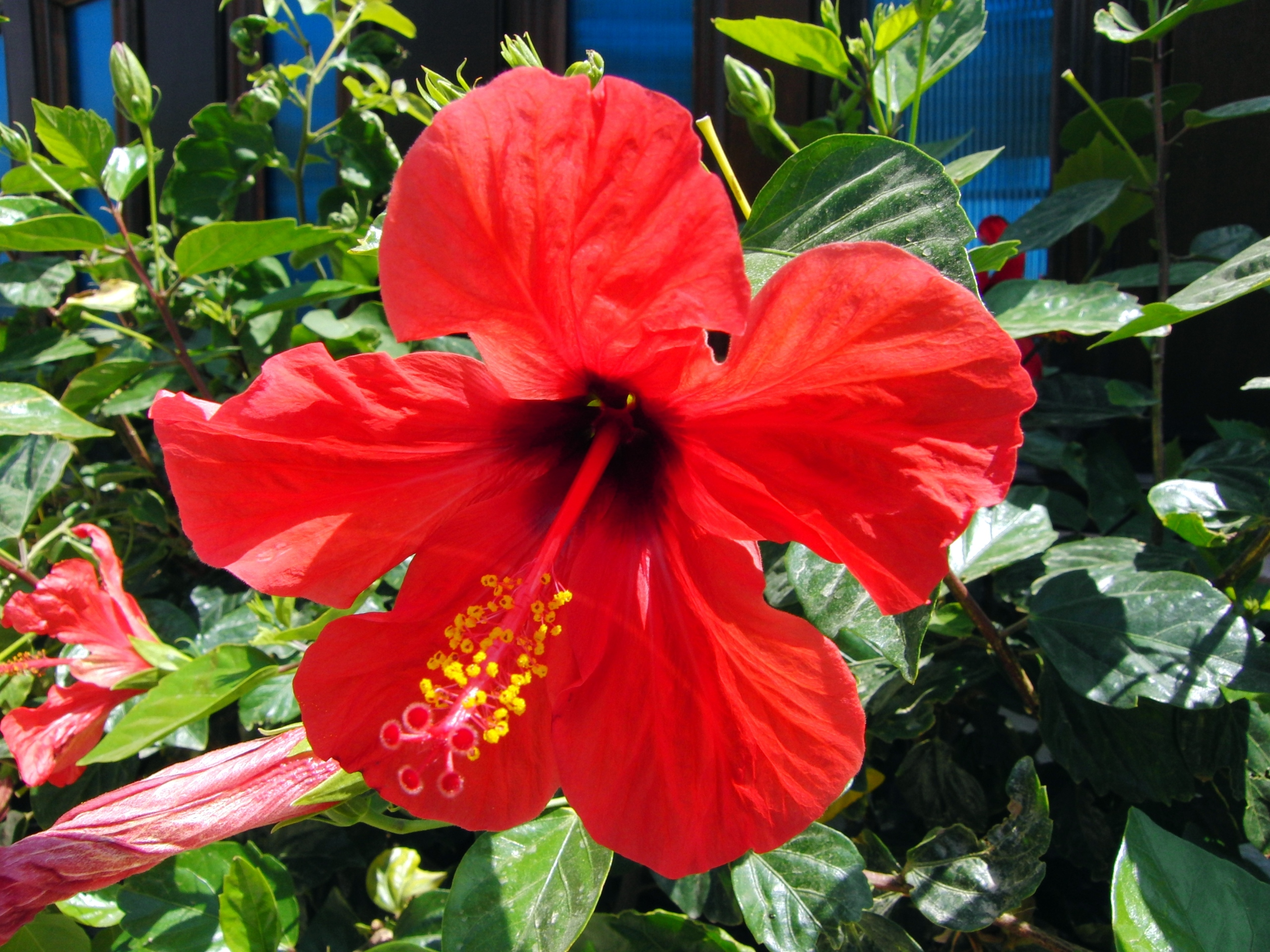 click to free download the wallpaper--Natural Scenery with Flowers, a Big Red Hibiscus in Bloom, Beautiful and Impressive