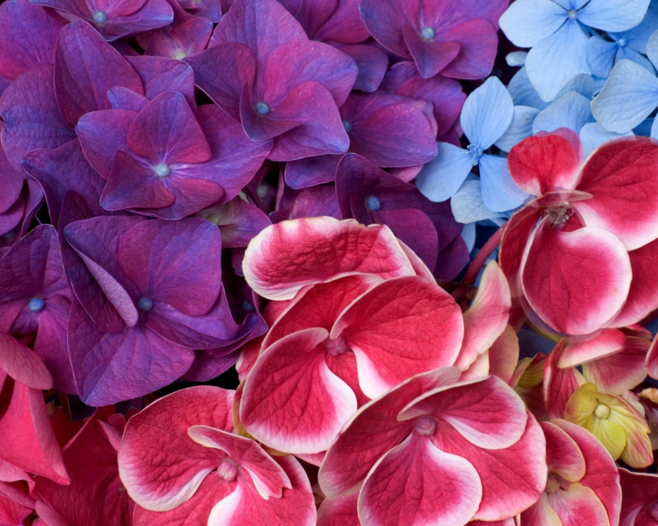click to free download the wallpaper--Nature Landscape Image, Colorful Hydrangeas, Crossed in Each Other