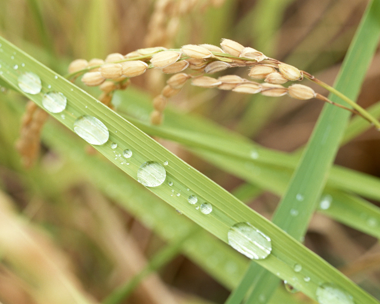 click to free download the wallpaper--Nature Landscape Image, Wheats and Green Plants, Waterdrops All Over, Morning Scene