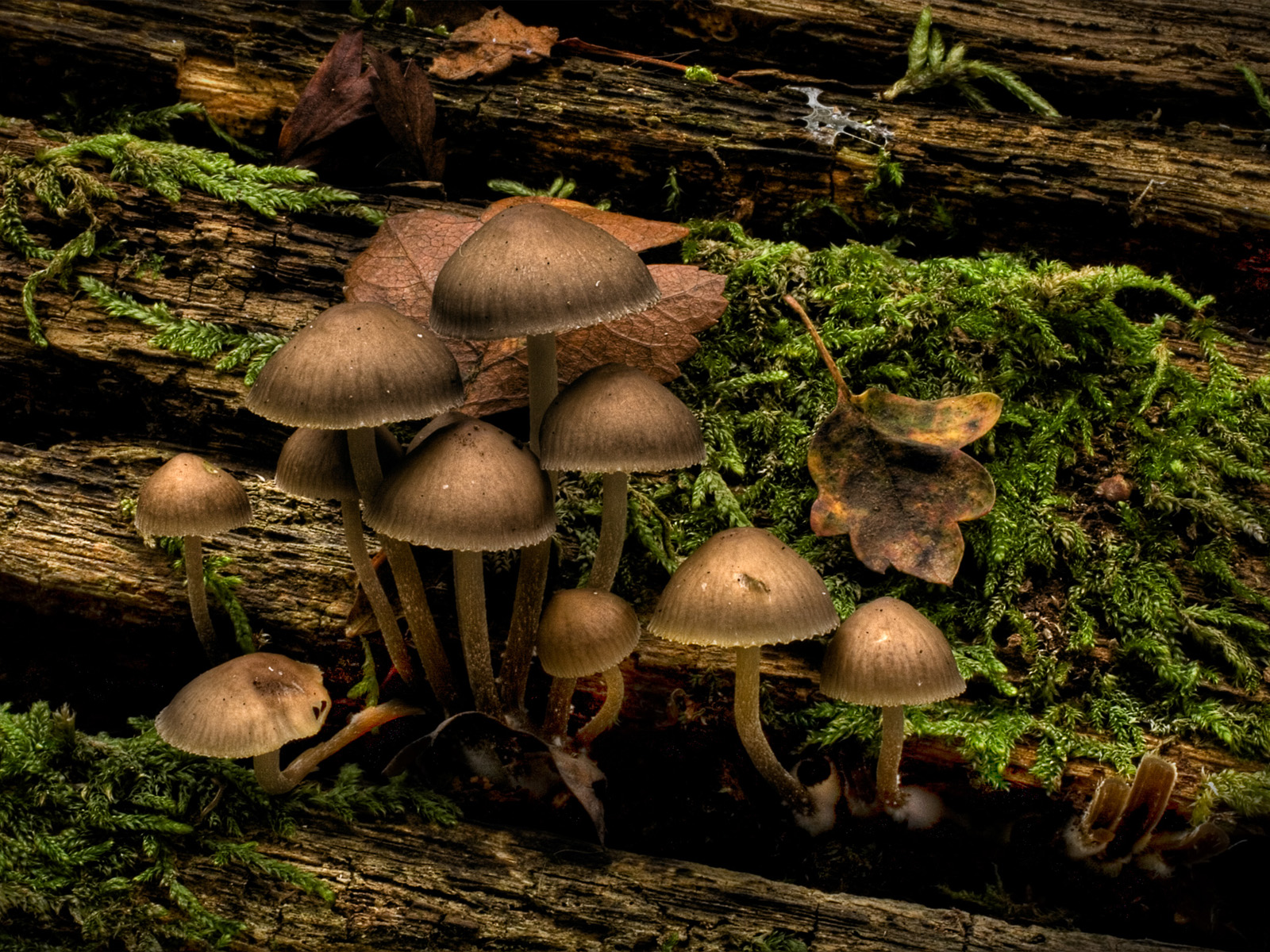 click to free download the wallpaper--Nature Landscape Pics, Jubilee Mushrooms in Prosperous Growth, They Are Hard to Believe