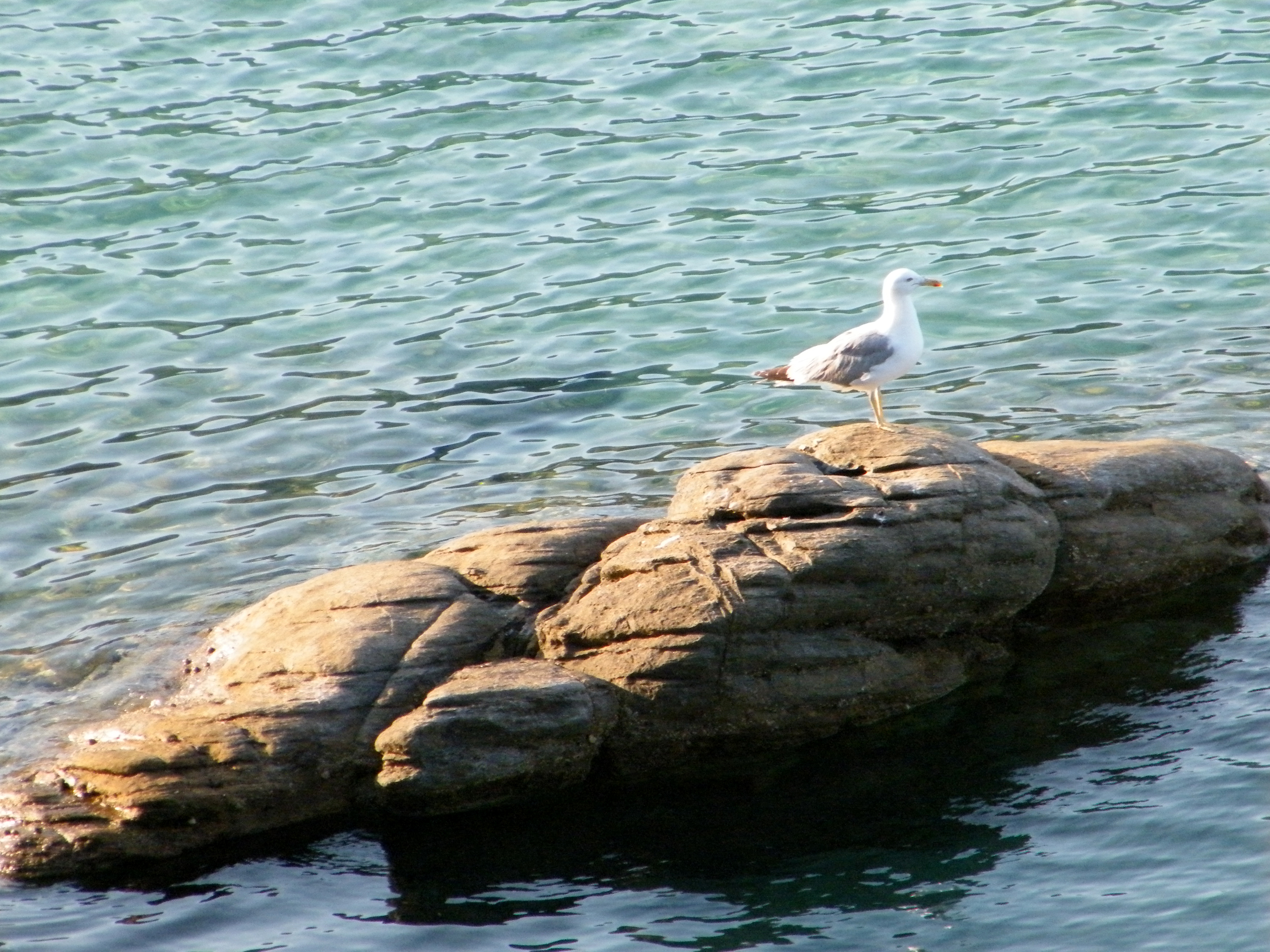 click to free download the wallpaper--Nature Landscape with Animals, Seagull on Rock, the Unpeaceful Sea, Where Are the Fishes?