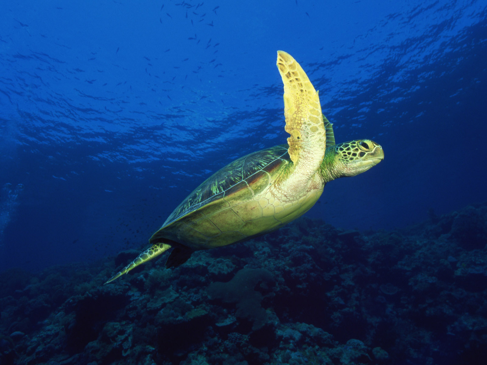 click to free download the wallpaper--Nature Landscape with Animals, a Sea Turtle in Free Swim, the Blue Sea