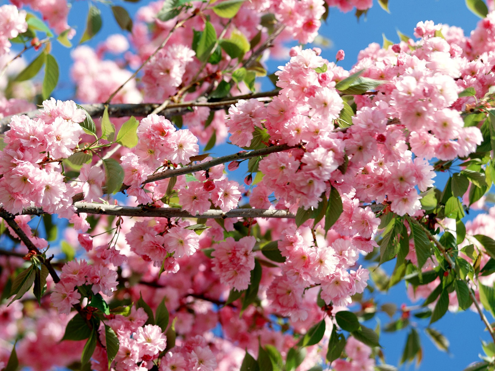 click to free download the wallpaper--Nature Landscape with Flowers, Pink Flowers in Bloom, the Blue Sky, a Fine Day
