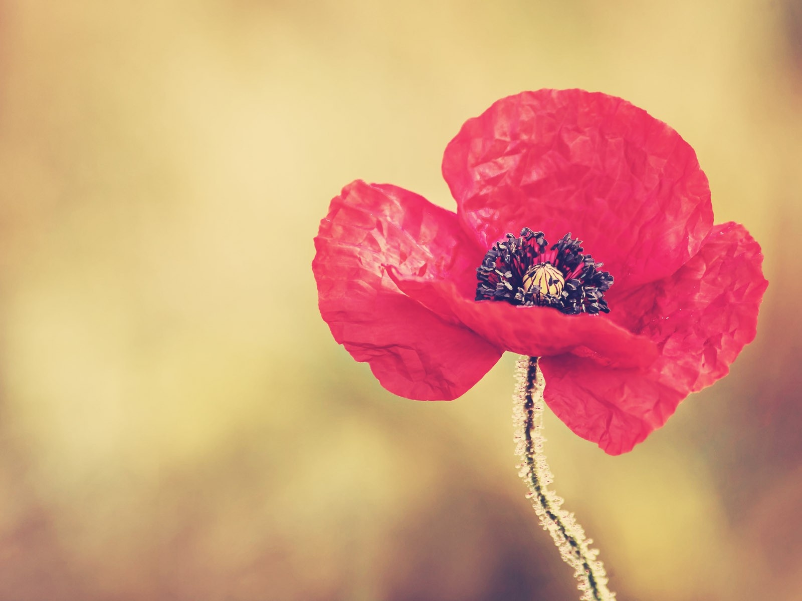 click to free download the wallpaper--Nature Landscape with Flowers, Red Poppy Flower on Simple Light Yellow Background