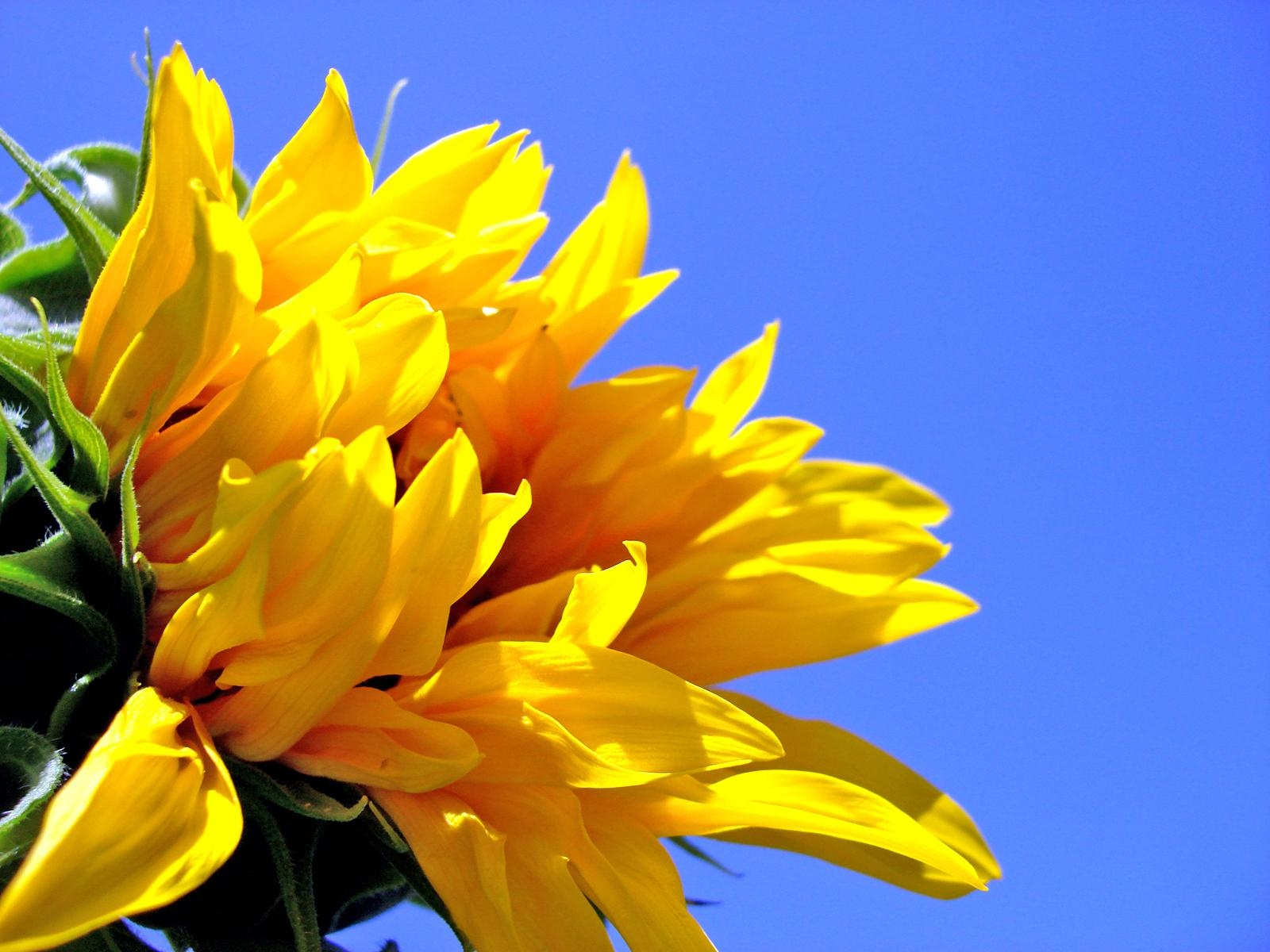 click to free download the wallpaper--Nature Landscape with Flowers, Smiling Sunflowers, the Blue Sky, Incredible Look  1600X1200 free wallpaper download