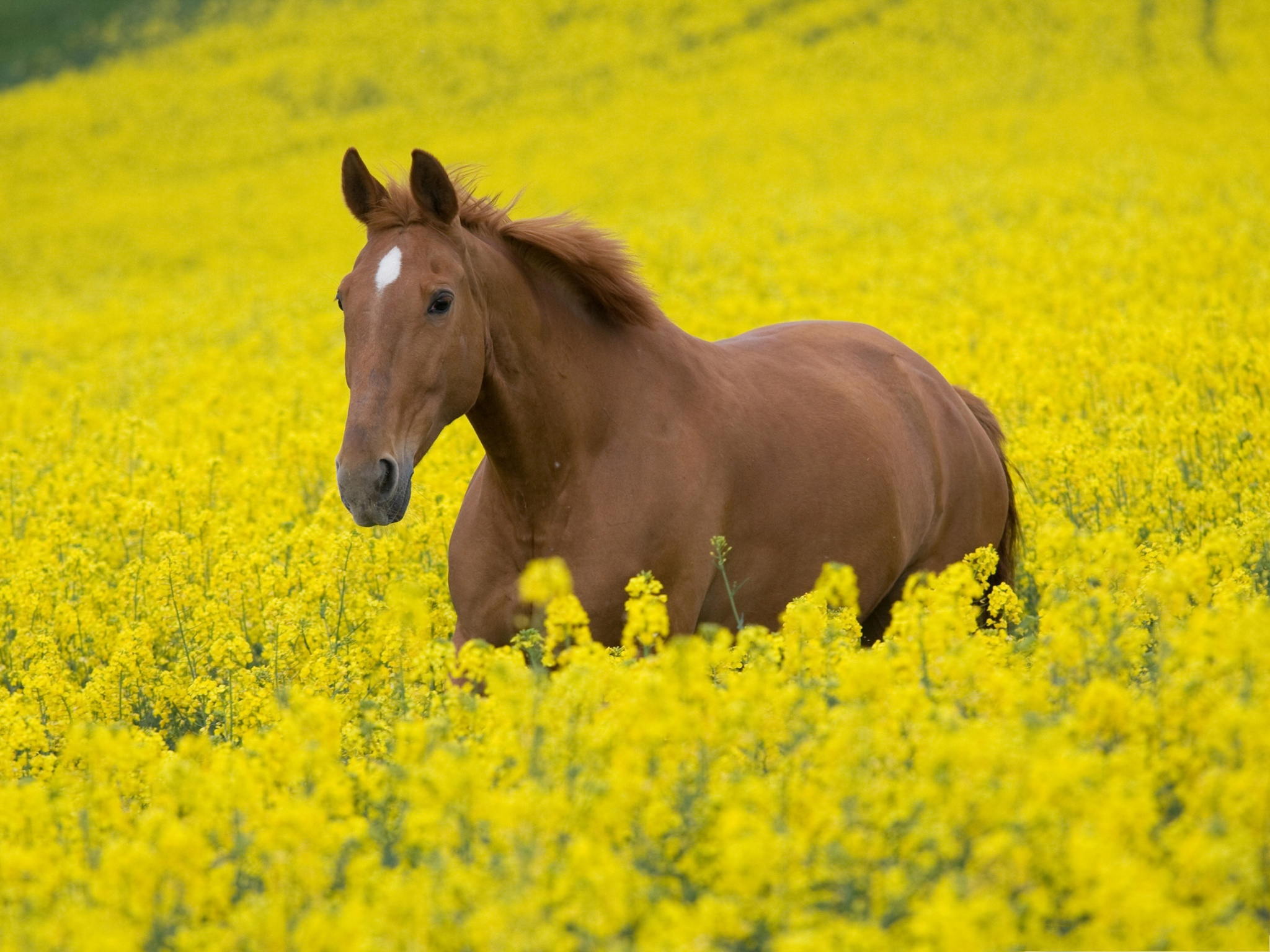 click to free download the wallpaper--Nature and Animals, Horse in Flower Field, Fun Time Outdoor  2048X1536 free wallpaper download