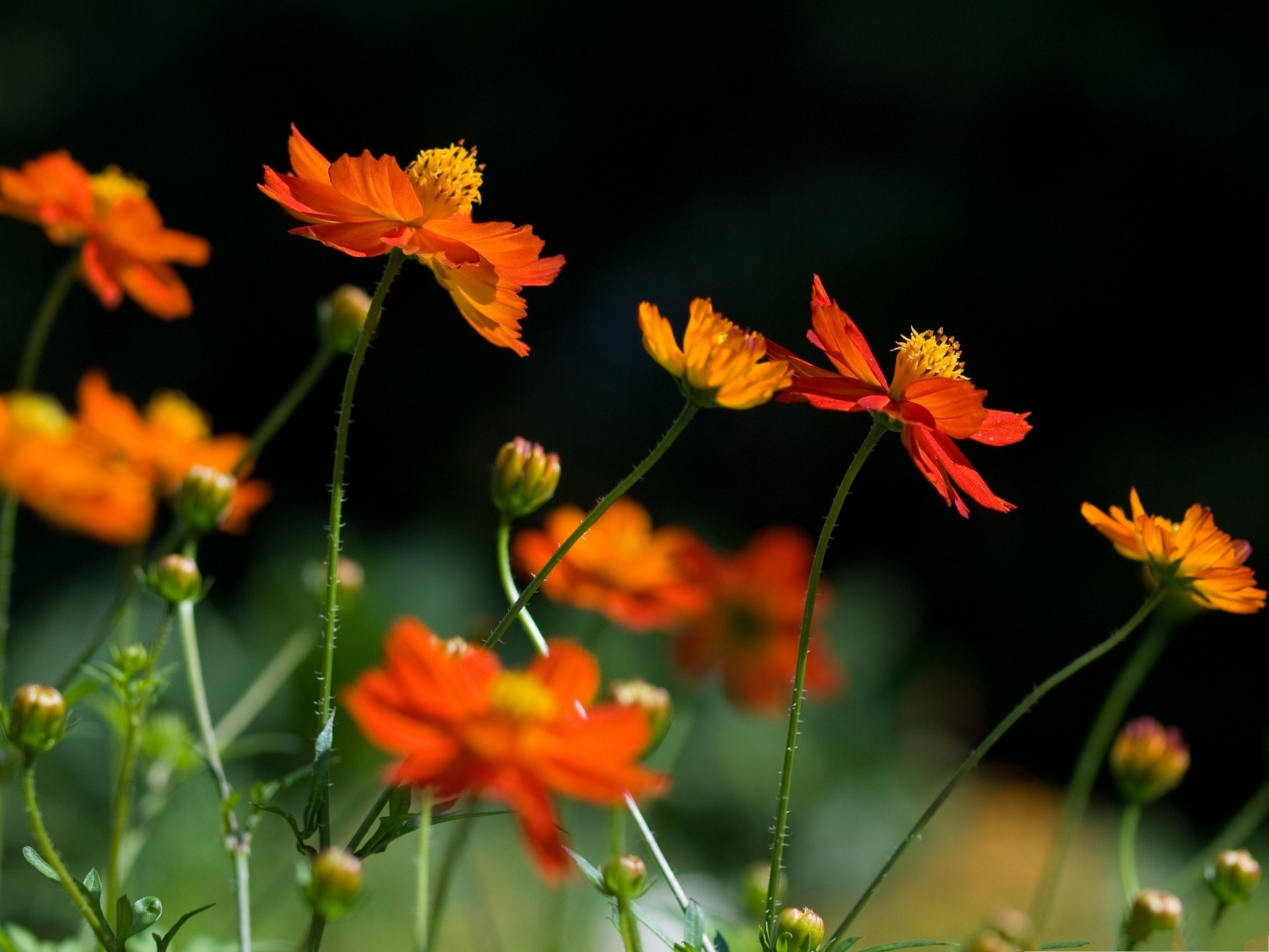 click to free download the wallpaper--Orange Cosmos Flowers, Bright-Colored Flowers in Bloom, Black Background 2048X1536 free wallpaper download