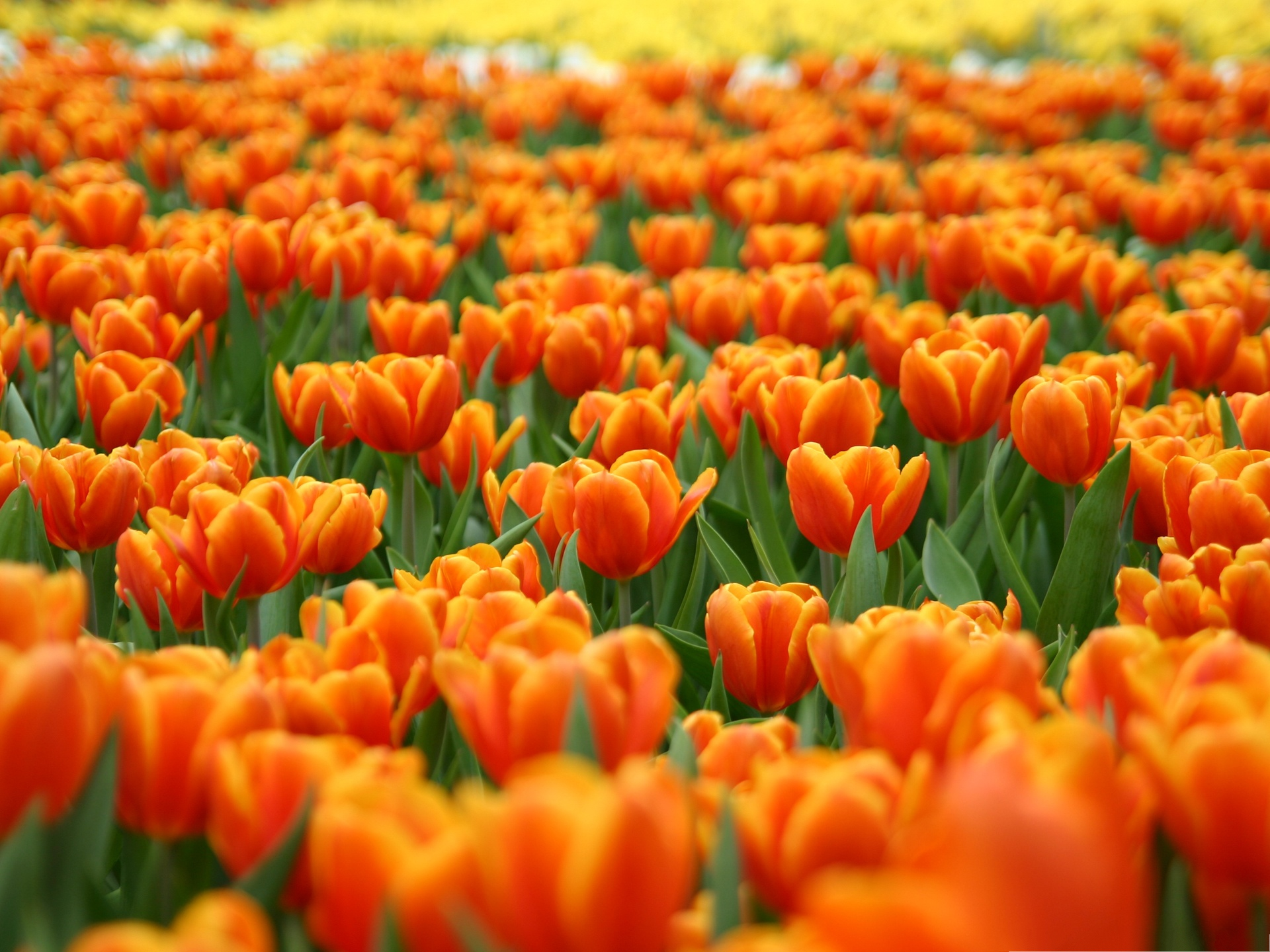 click to free download the wallpaper--Orange Tulips Image, Beautiful Flower Field, Great Place to Stay 1920X1440 free wallpaper download