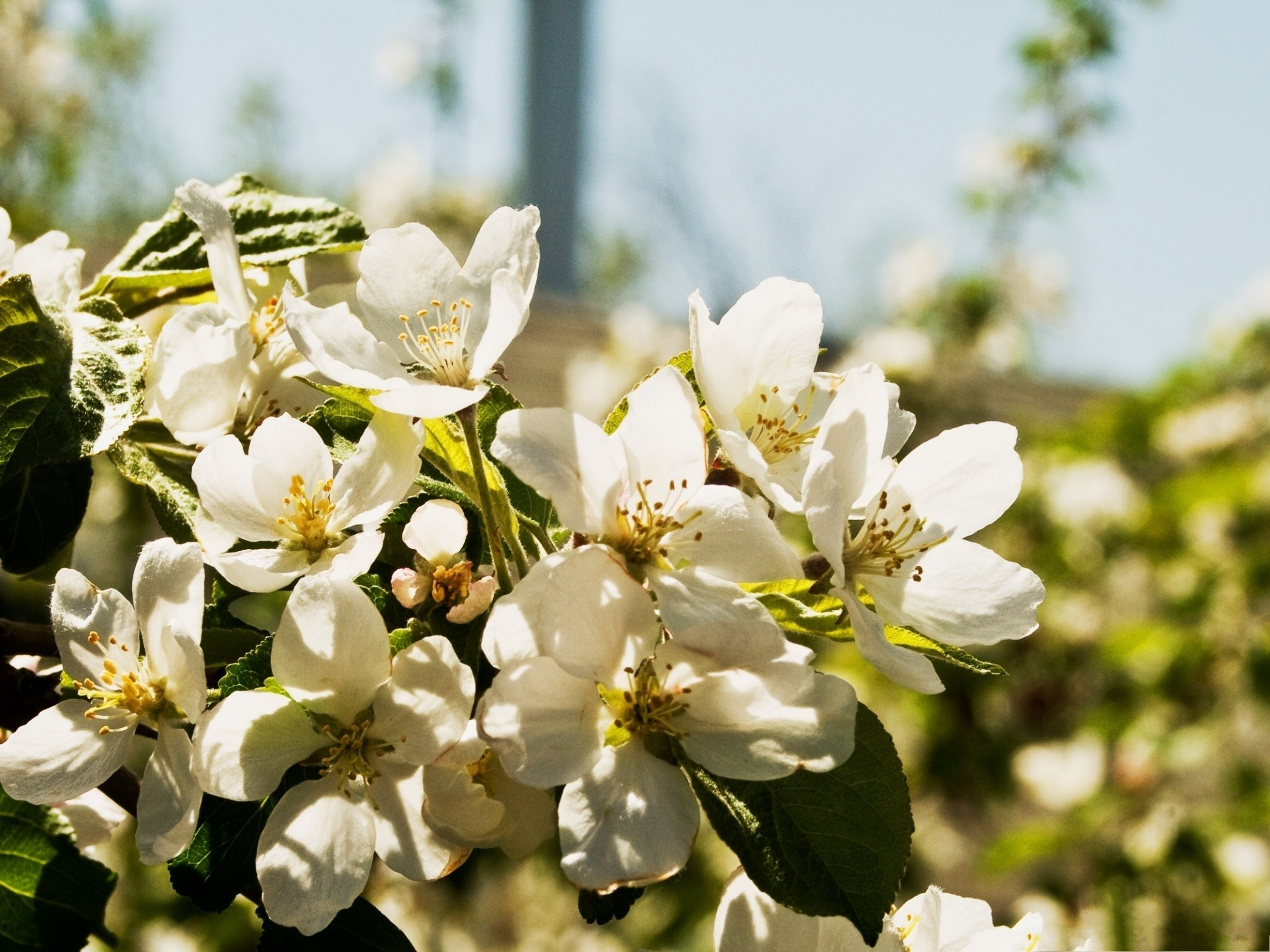 click to free download the wallpaper--Pear Flowers Photo, White Blooming Flowers with Strong Sunshine, Amazing Scene 2048X1536 free wallpaper download