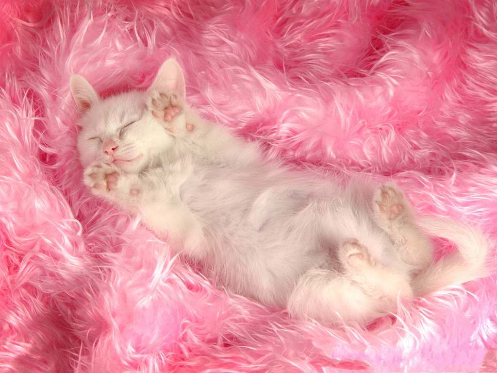 click to free download the wallpaper--Persian Cat Pic, White Sleeping Kitten with Pink Paws, the Sweet Princess 1024X768 free wallpaper download