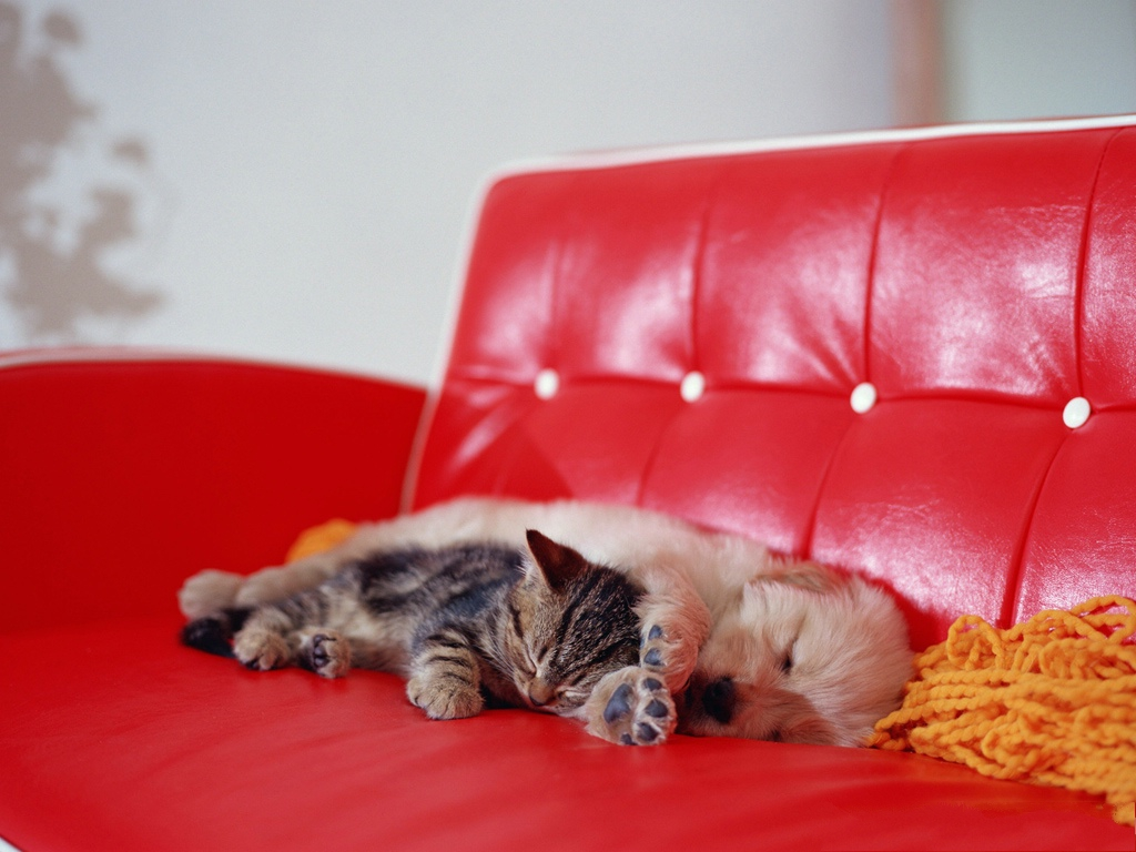 click to free download the wallpaper--Pic of Pussy Cat, Kitten Lying and Sleeping on Red Sofa, Great Relationship with Puppy 1024X768 free wallpaper download