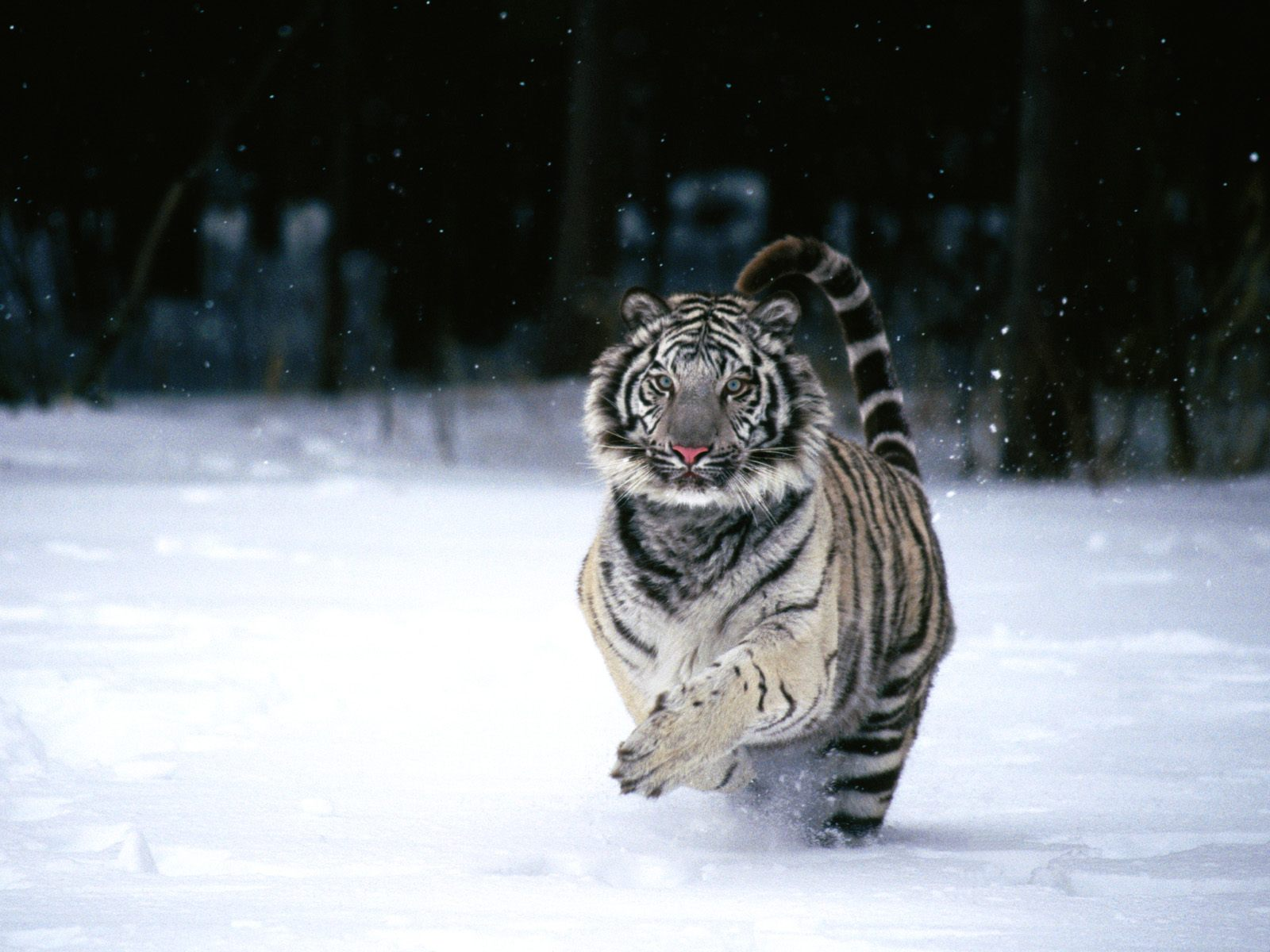 click to free download the wallpaper--Pics of Animals - White Tiger Post in Pixel of 1600x1200, Running Fast in Heavy Snow, It is Energitic and Lively 1600X1200 free wallpaper download
