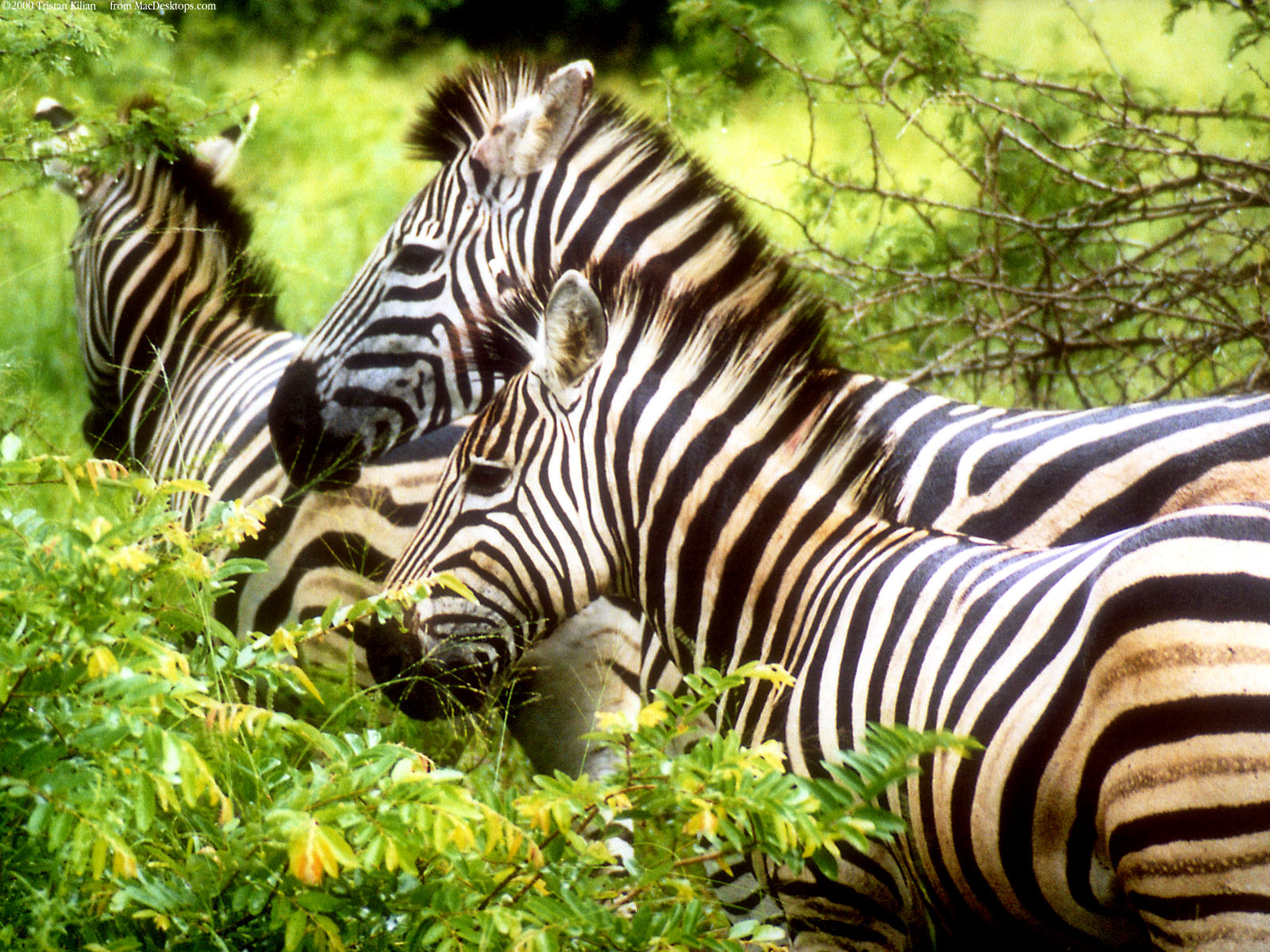 click to free download the wallpaper--Pics of Animals - Zebras Wallpaper in Pixel of 1600x1200, Close Relationship Between Each Other, Doing Some Sharing 1600X1200 free wallpaper download