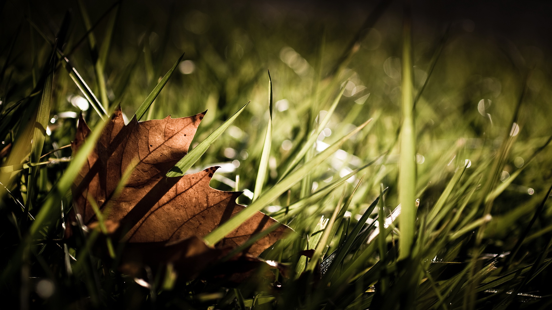 click to free download the wallpaper--Pics of Natural Scene - A Brown Leaf Among the Green Grass, When Will the Latter Turn Yellow? 1920X1080 free wallpaper download