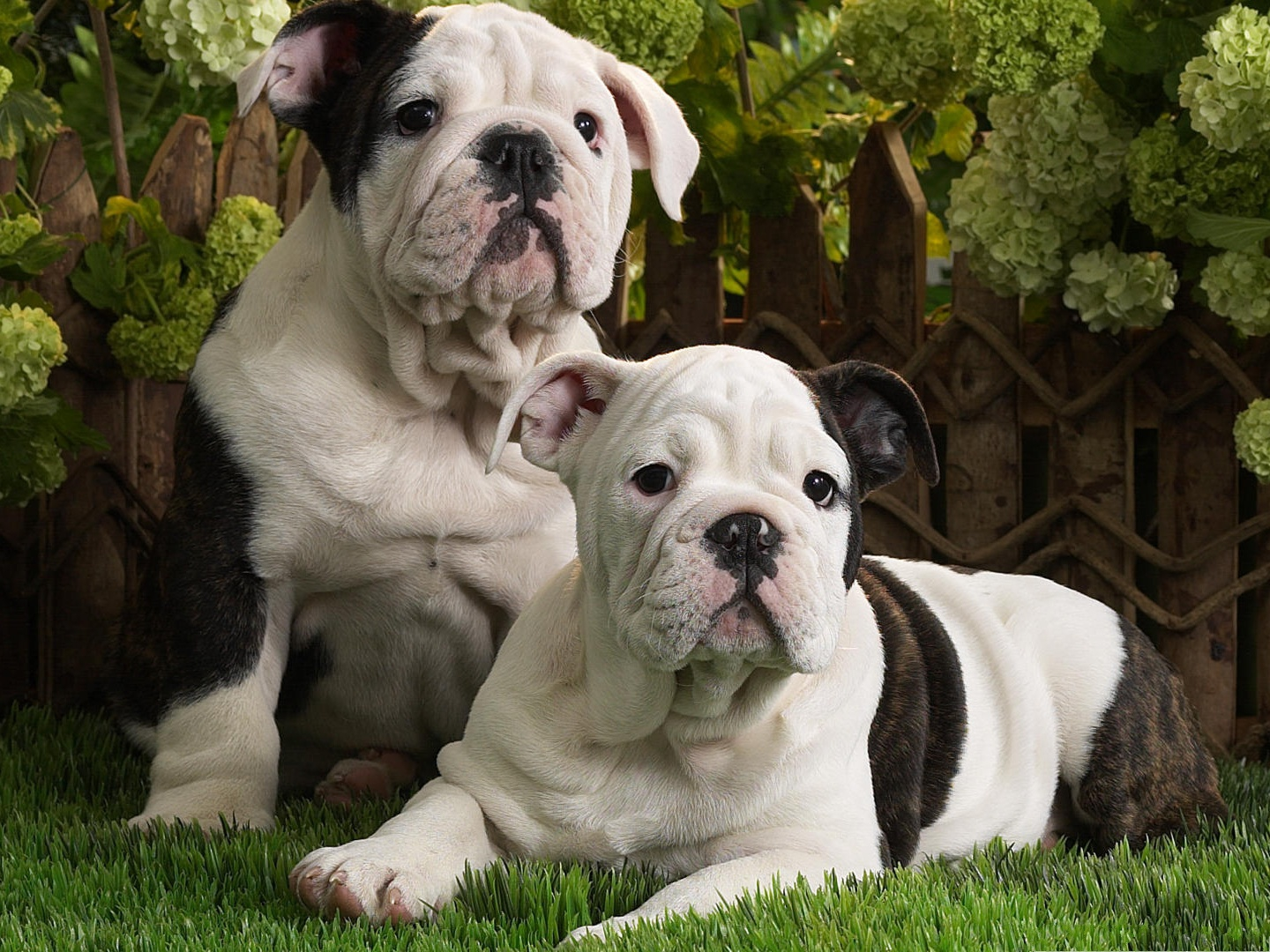 click to free download the wallpaper--Pictures of Bulldog, Two Puppies Close to Each Other, Green Leaves 1440X1080 free wallpaper download
