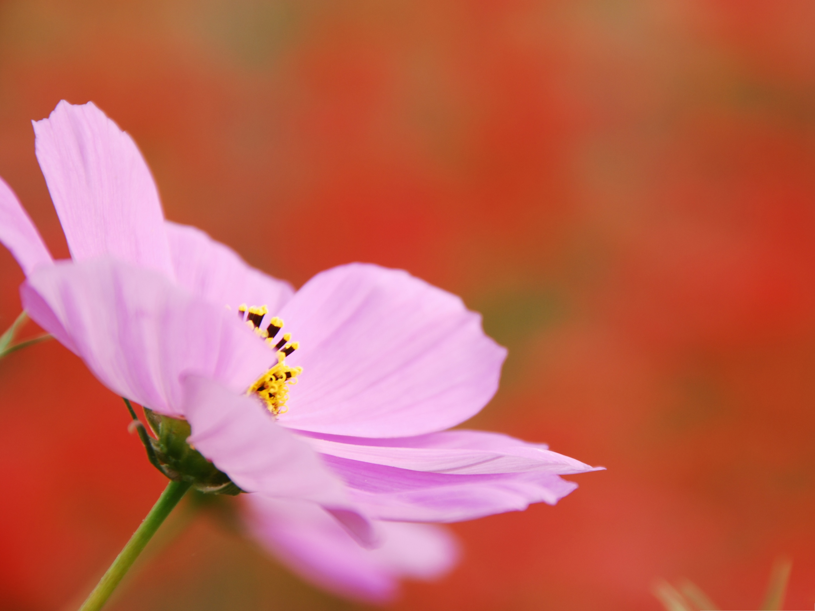 click to free download the wallpaper--Pink Cosmos Flower, Blooming Pink Flower on Red Background, Incredible Scene 2800X2100 free wallpaper download