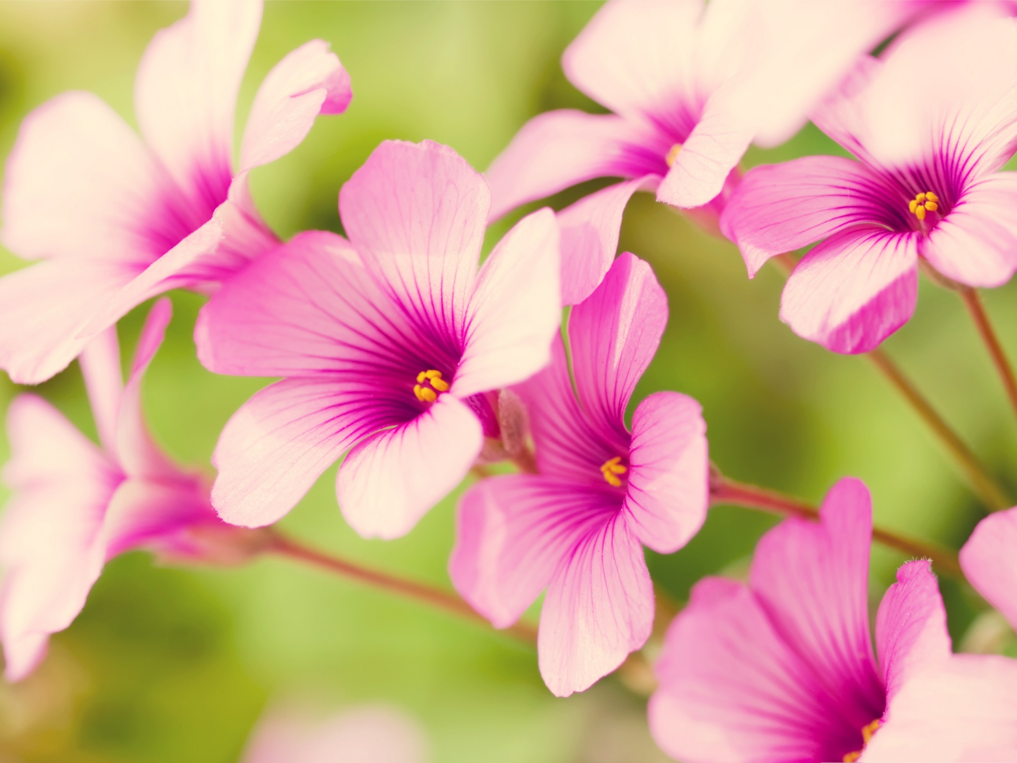 Pink Flower Petals Small Flowers Blooming Nice Looking and Impressive 2048X