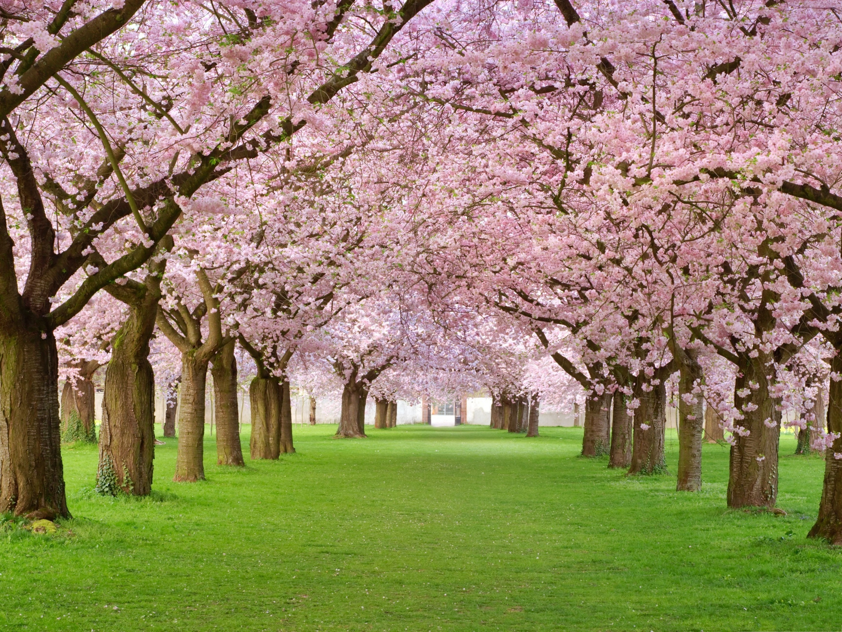 Pink flower pictures beautiful flowers in two lines green field in click to free download the wallpaper pink flower pictures beautiful flowers in two izmirmasajfo