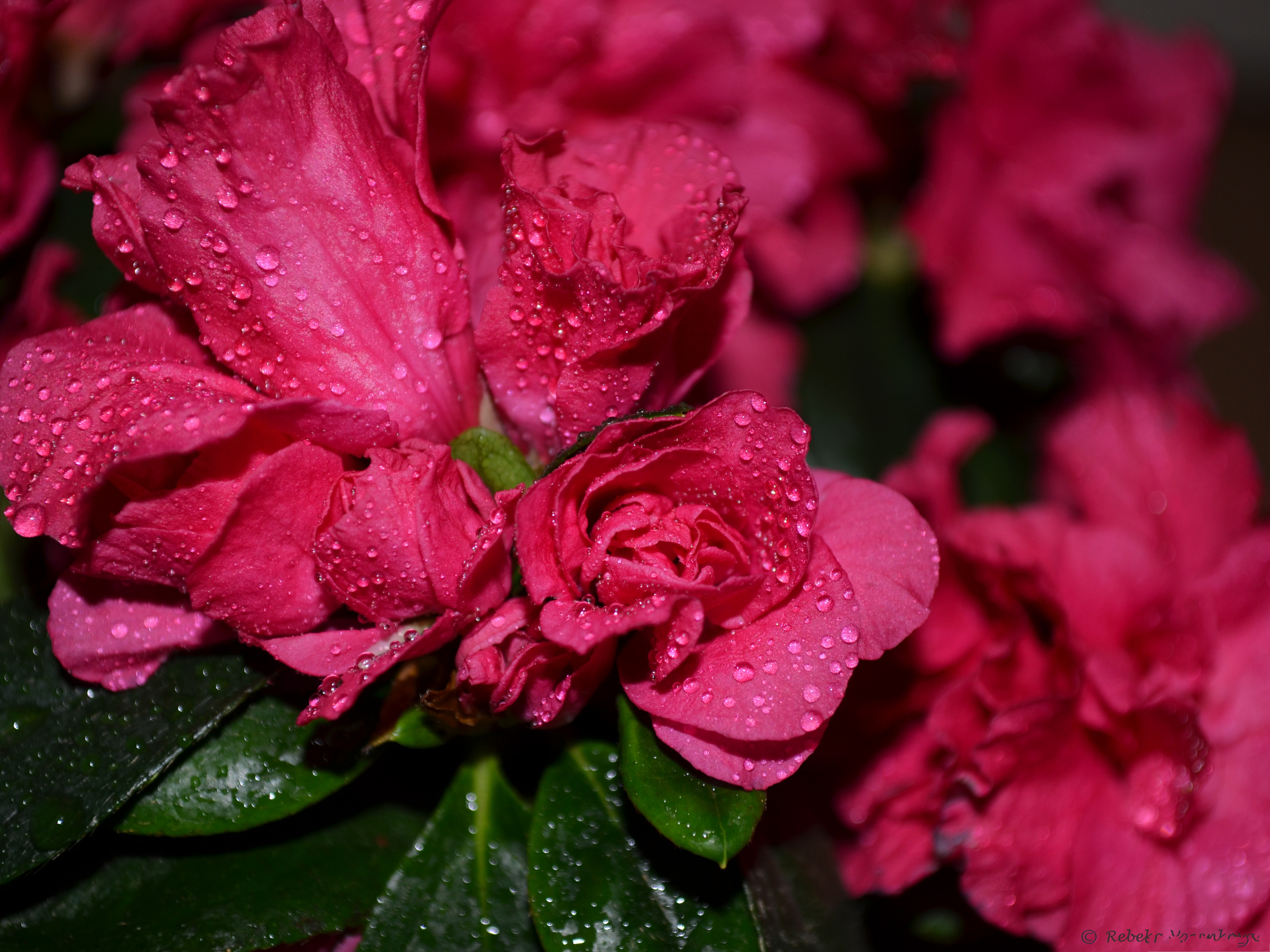 click to free download the wallpaper--Pink Flowers Image, Blooming Flowers with Rain Drops, Fresh and Clean Scene 4096X3072 free wallpaper download