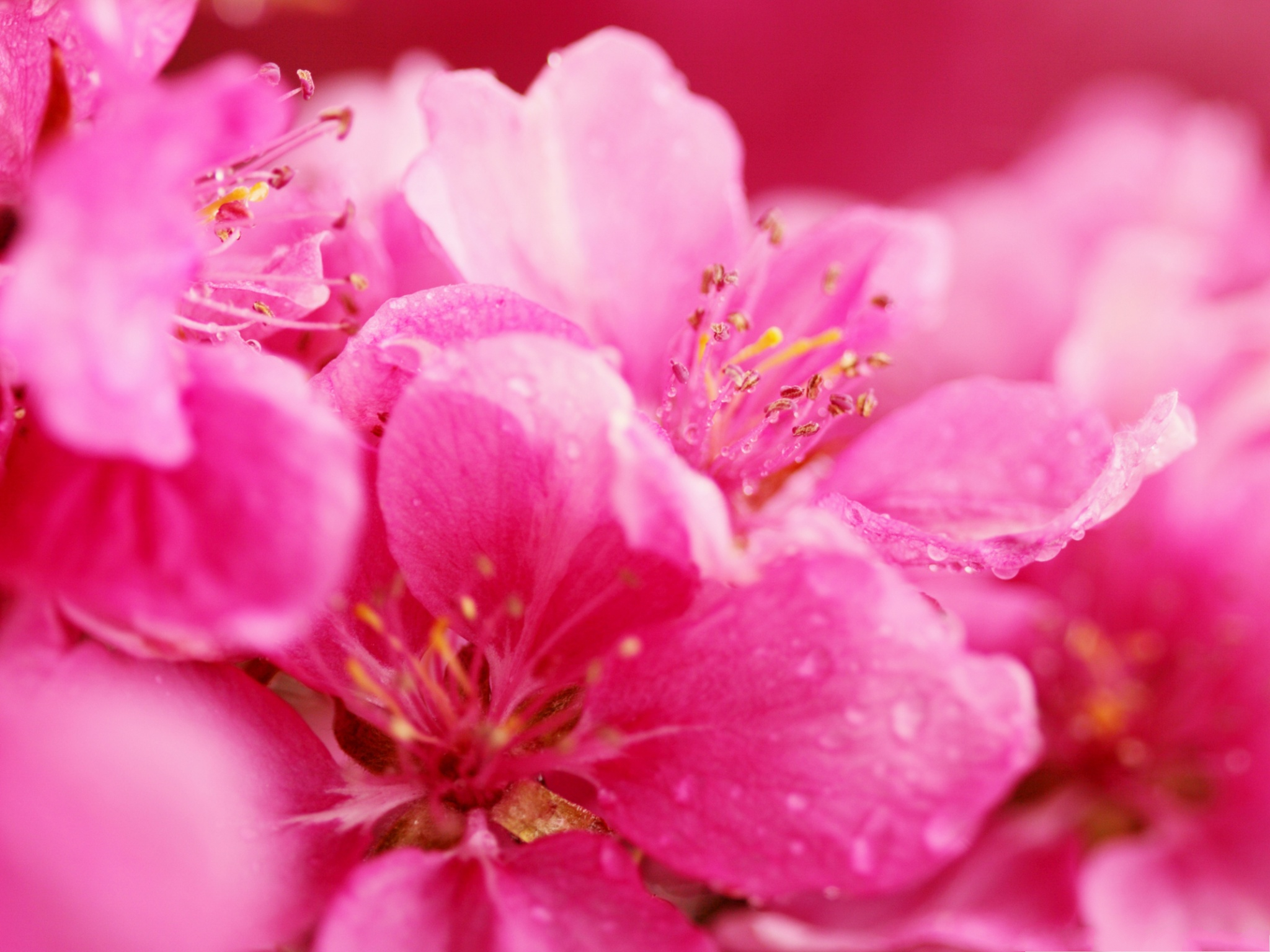 click to free download the wallpaper--Pink Flowers Pic, Blooming Tiny Flower, Rain Drops on the Petal 2048X1536 free wallpaper download