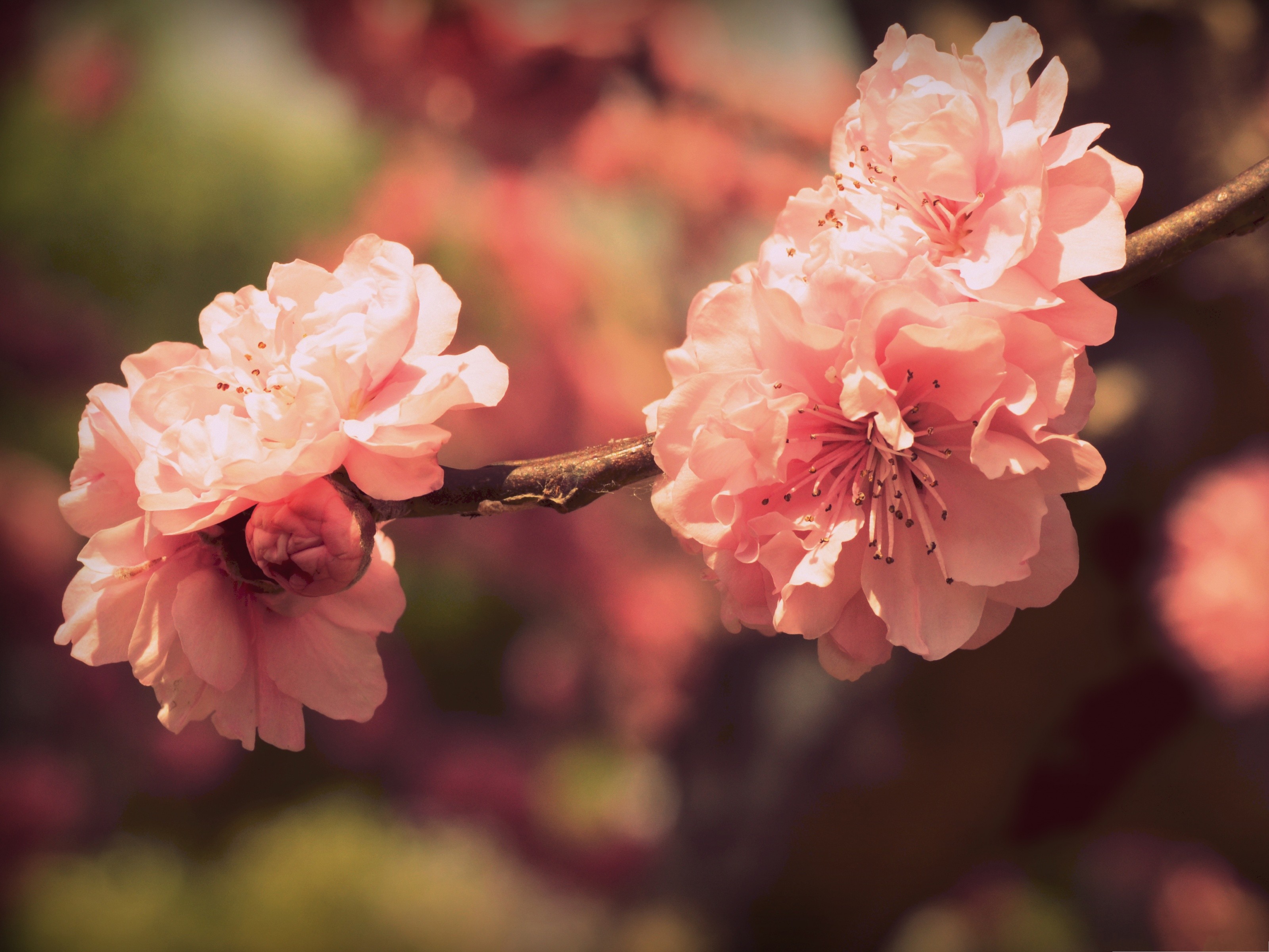 click to free download the wallpaper--Pink Prunus Flowers, Blooming Flowers Under Micro Focus, Brown Thin Branch 3200X2400 free wallpaper download