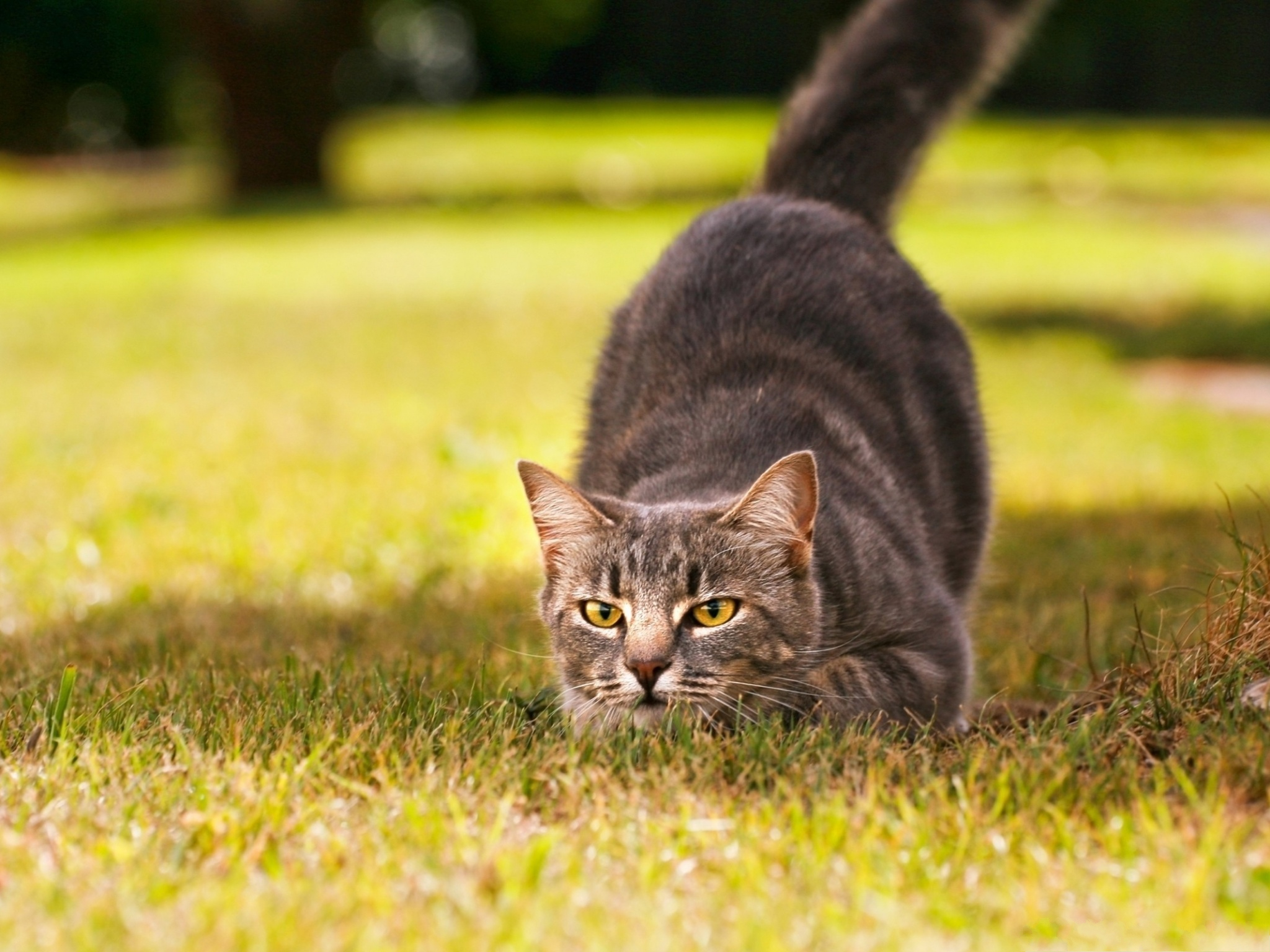 click to free download the wallpaper--Playful Cat Photo, Curled Up Body, Stay on Green Grass, Start Out in a Rush 2048X1536 free wallpaper download