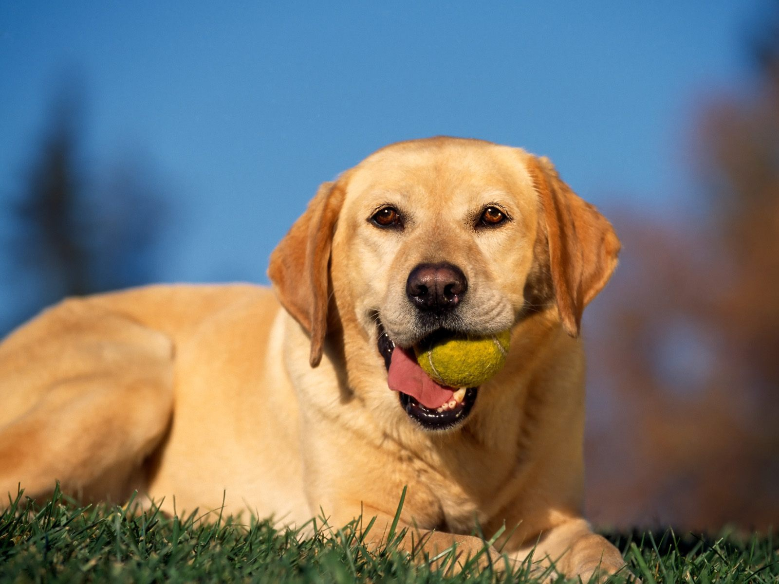 click to free download the wallpaper--Playful Labrador Retriever 1600X1200 free wallpaper download