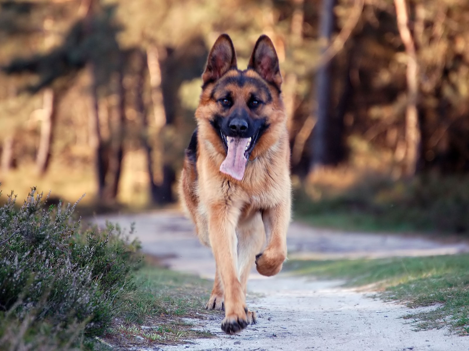 click to free download the wallpaper--Running German-Shepherd 1600X1200 free wallpaper download
