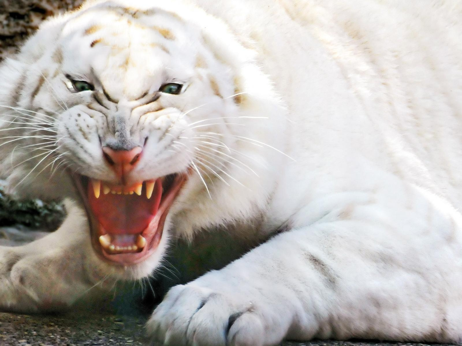 Scary Animal Wallpapers: Scary Animal Post, An Angry White Tiger Is Screaming