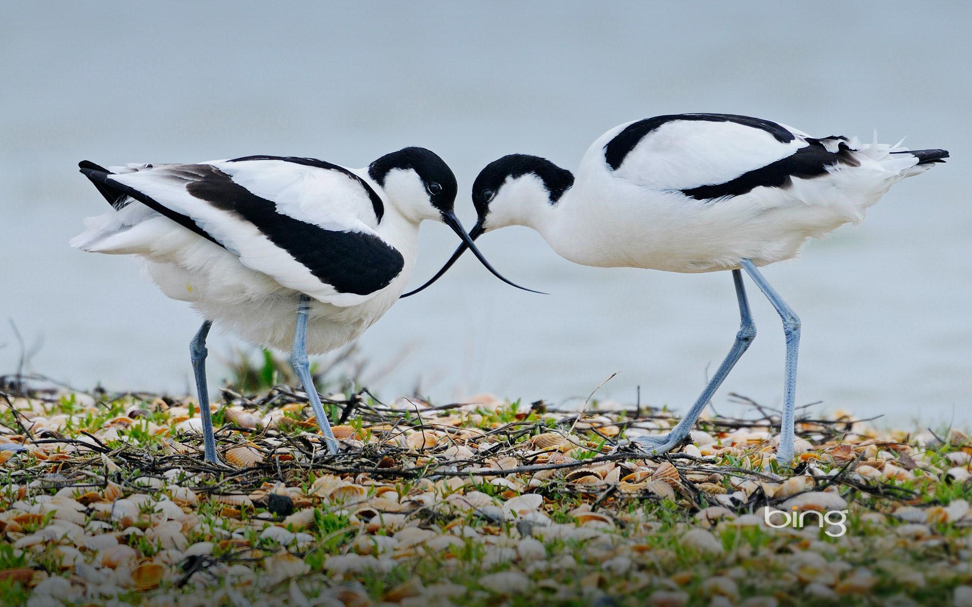 water birds bing wallpaper - photo #24