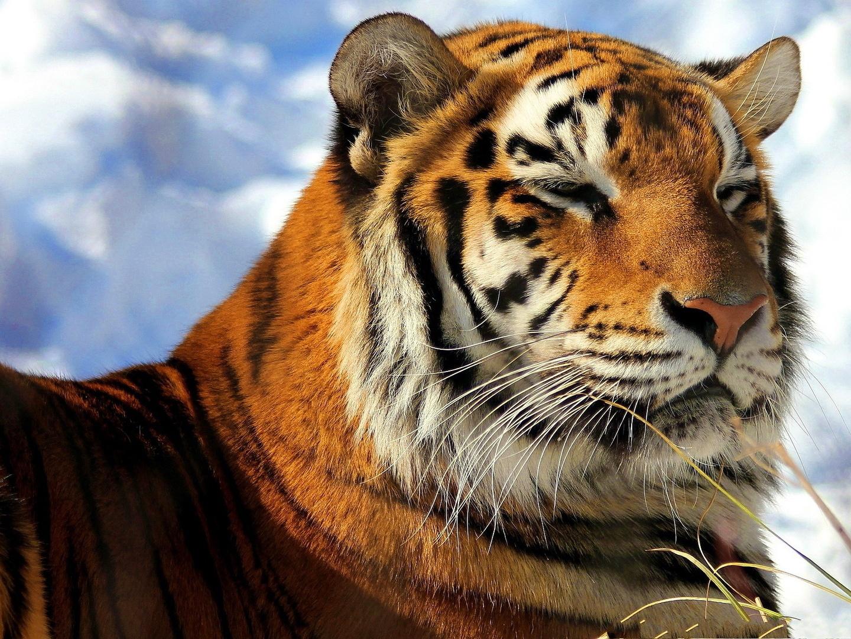 Sleepy Amur Tiger Beautiful Tiger Under The Blue Sky