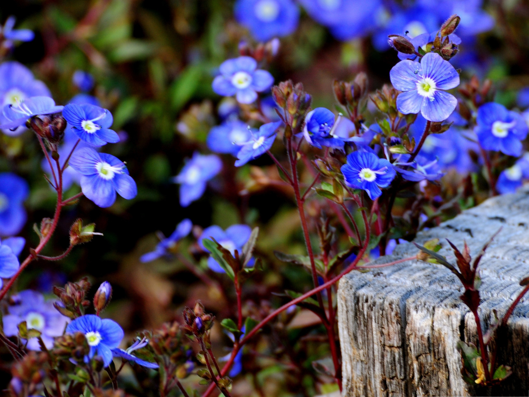 click to free download the wallpaper--Small Blue Flowers, Blooming Beautiful Flowers, Nice in Look 2048X1536 free wallpaper download
