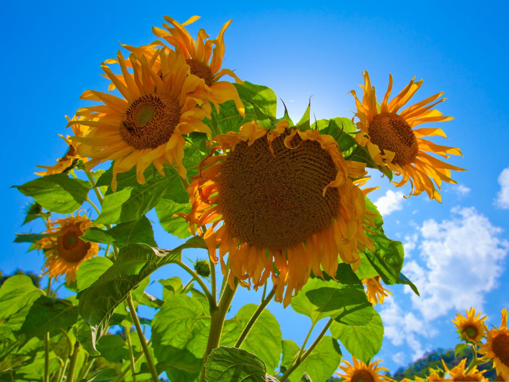 Smiling Sunflower Images Smiling Sunflowers Image