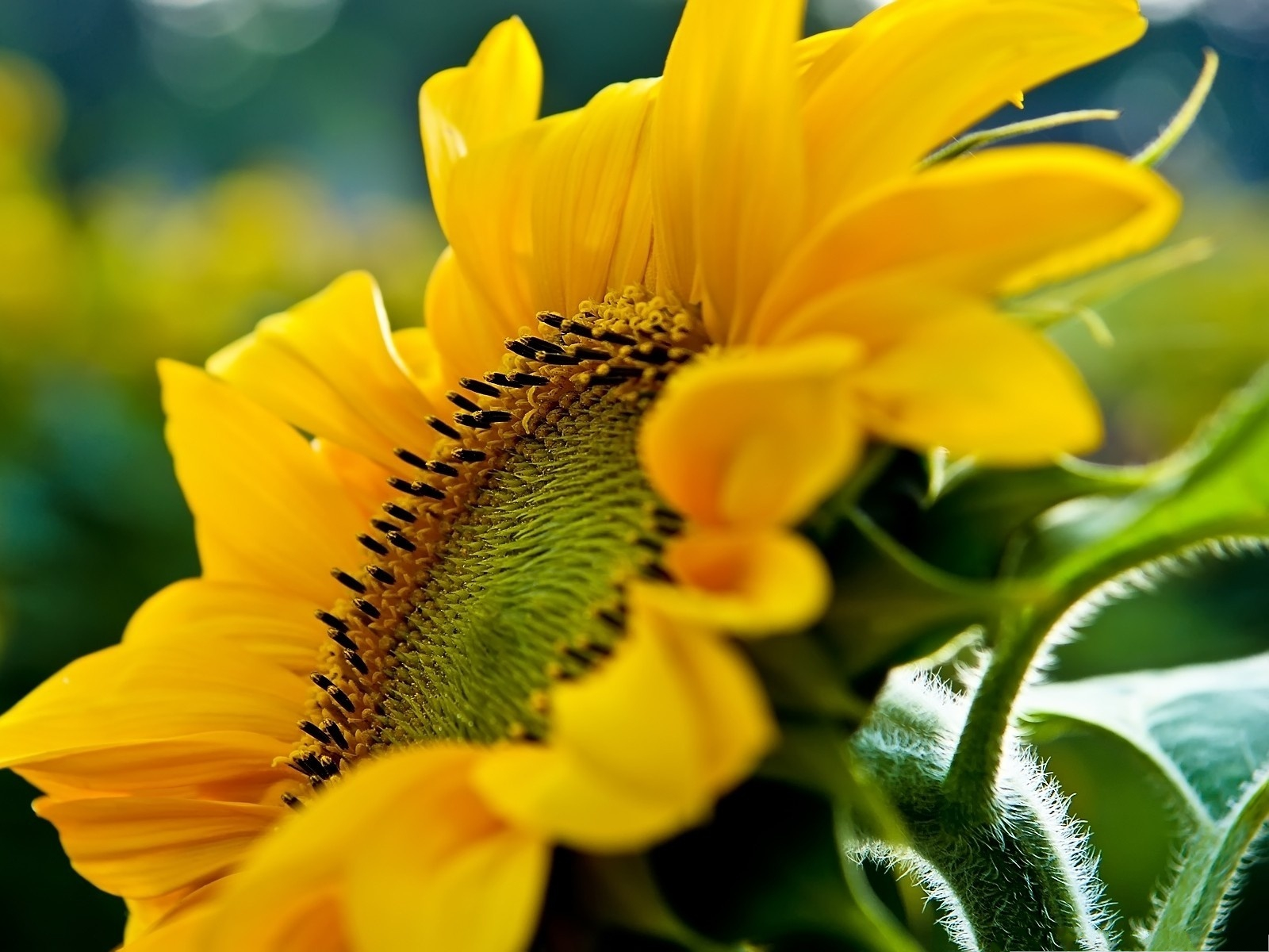 click to free download the wallpaper--Sunflowers Photography, Sunflower Under Macro Focus, Smile and Be Optimistic 1600X1200 free wallpaper download