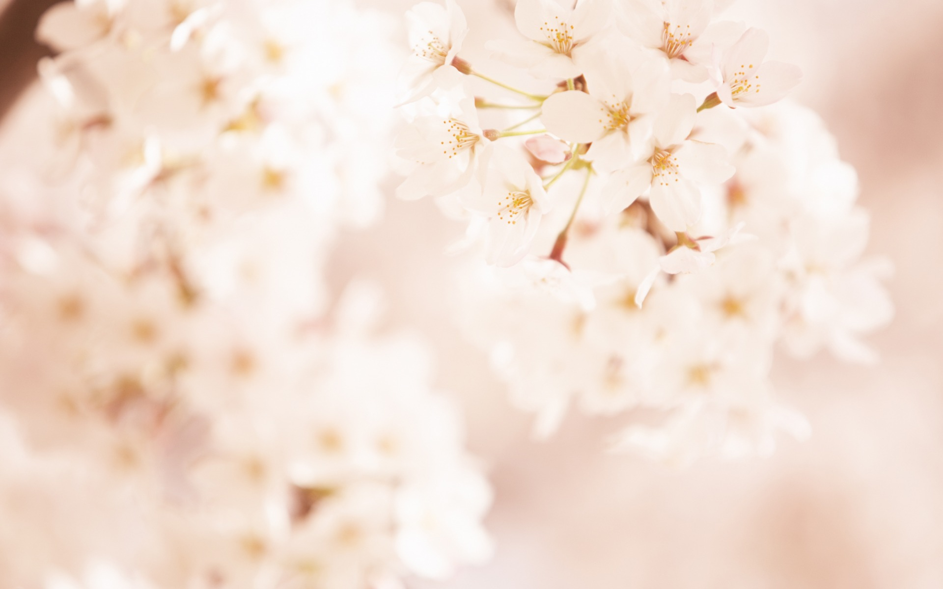 click to free download the wallpaper--Sweet Romantic Flowers, White and Pure Cherries, Clean and Fresh World  1920X1200 free wallpaper download