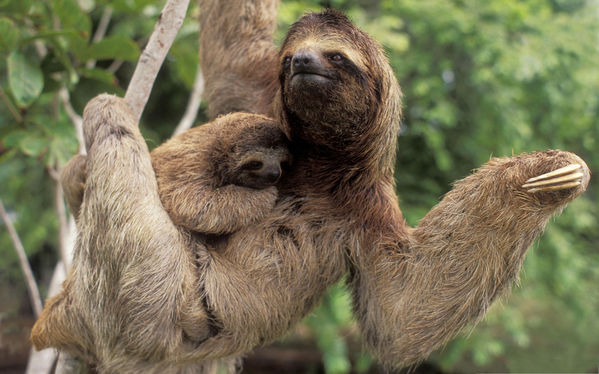 Three Toed Sloth Image, Cute Baby Kept in the Arms, Under Great Protection--1920X1200 free wallpaper download